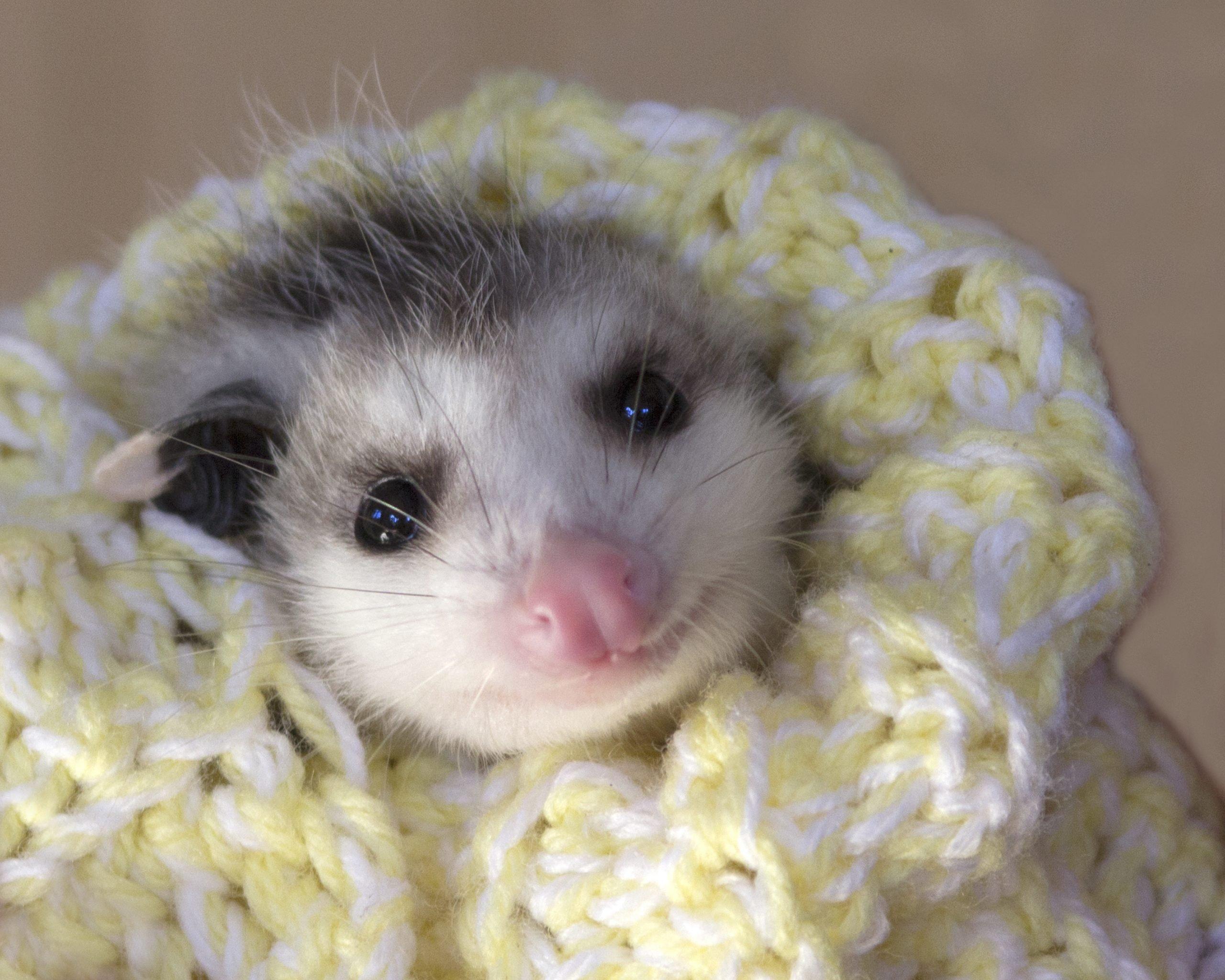 Possum Baby