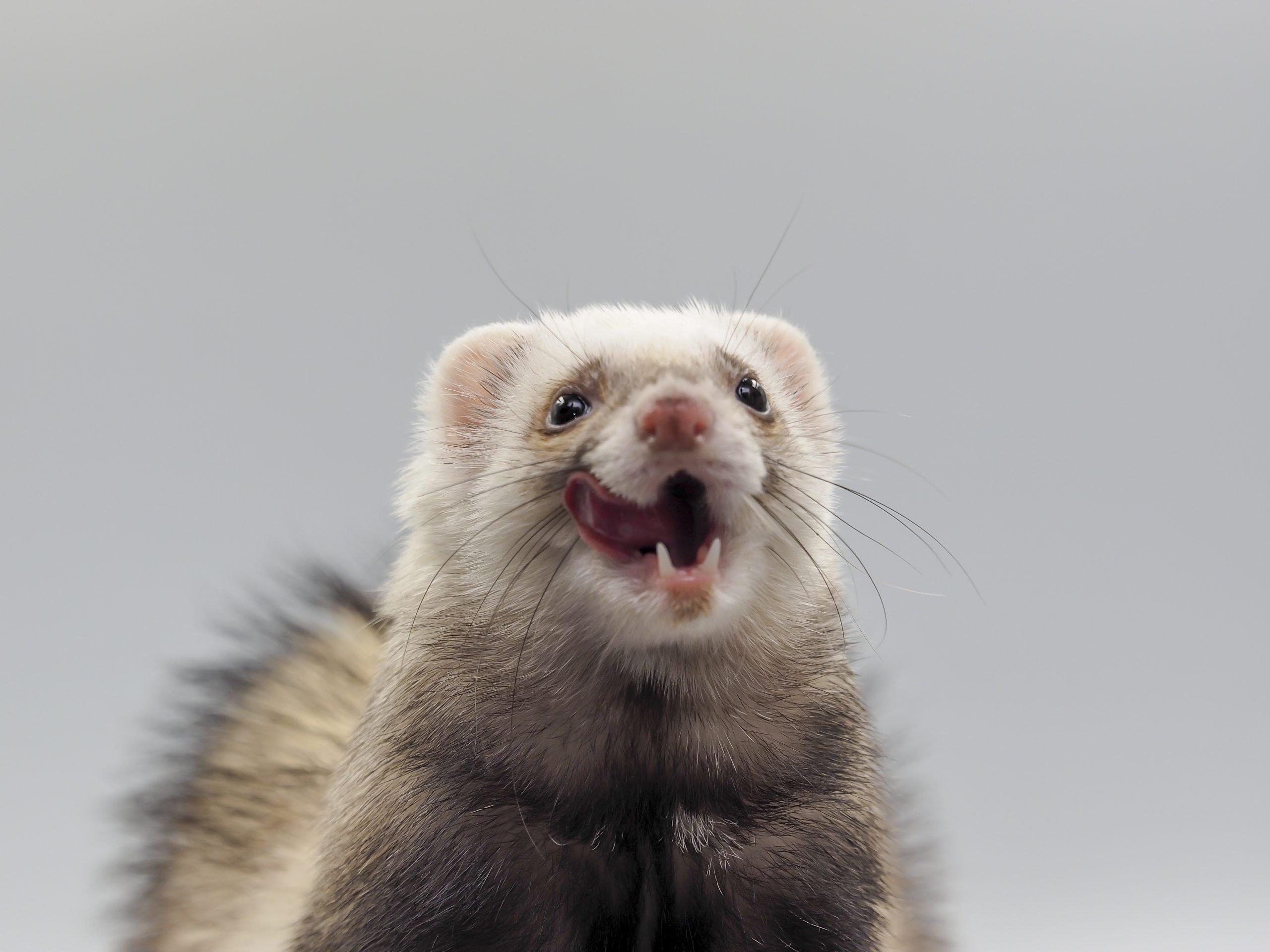 A ferret lick