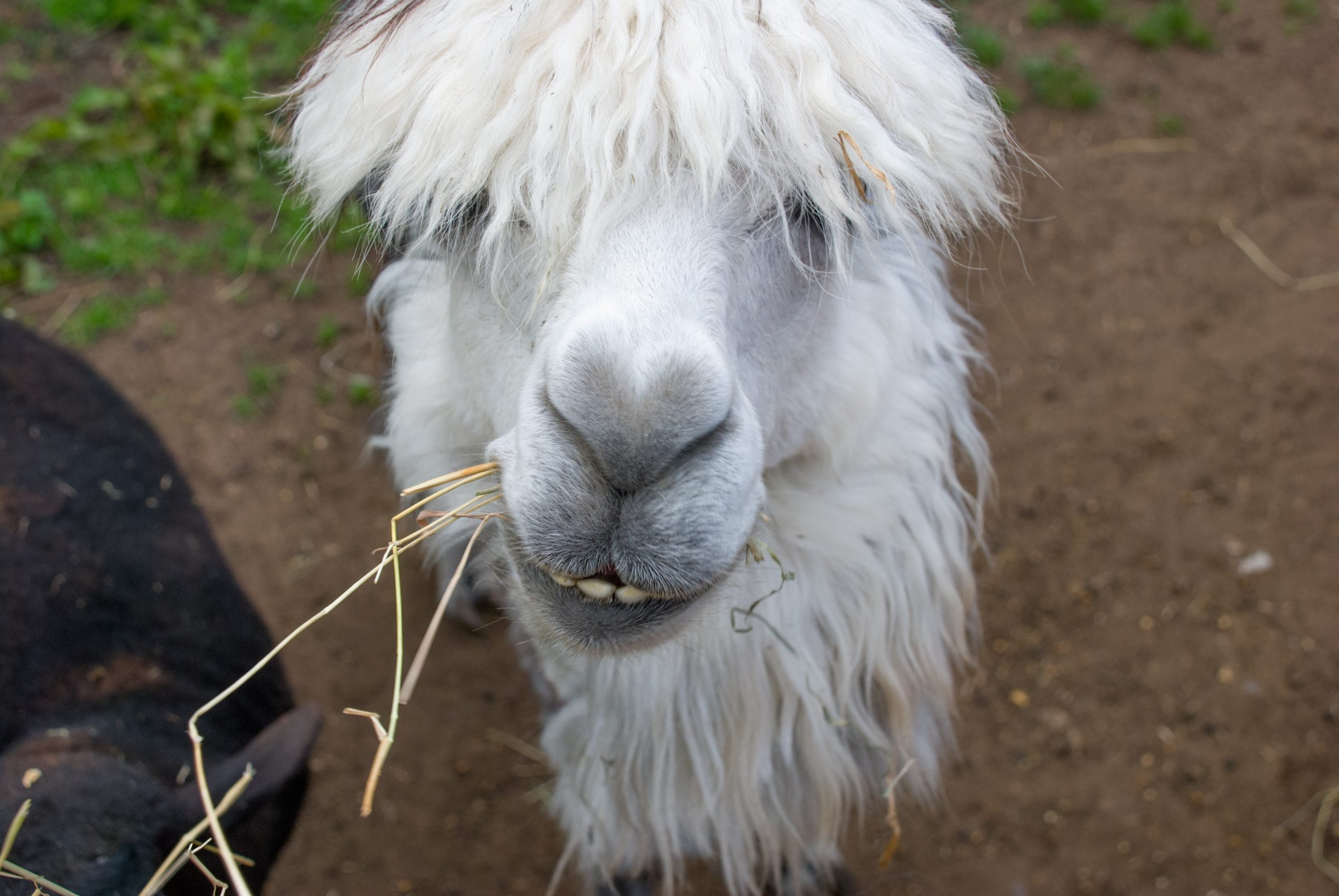 White Llama Front View