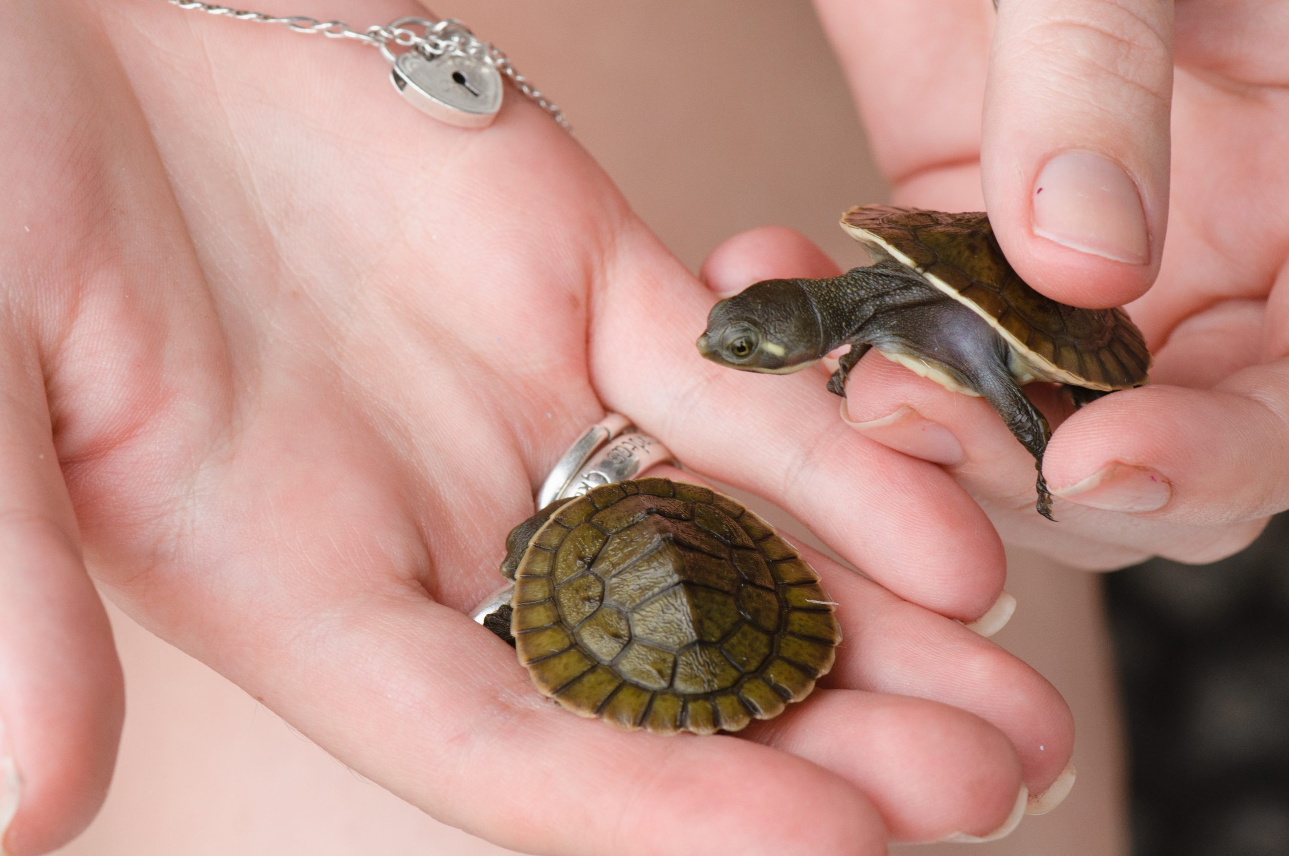 Pet baby turtles held in hand