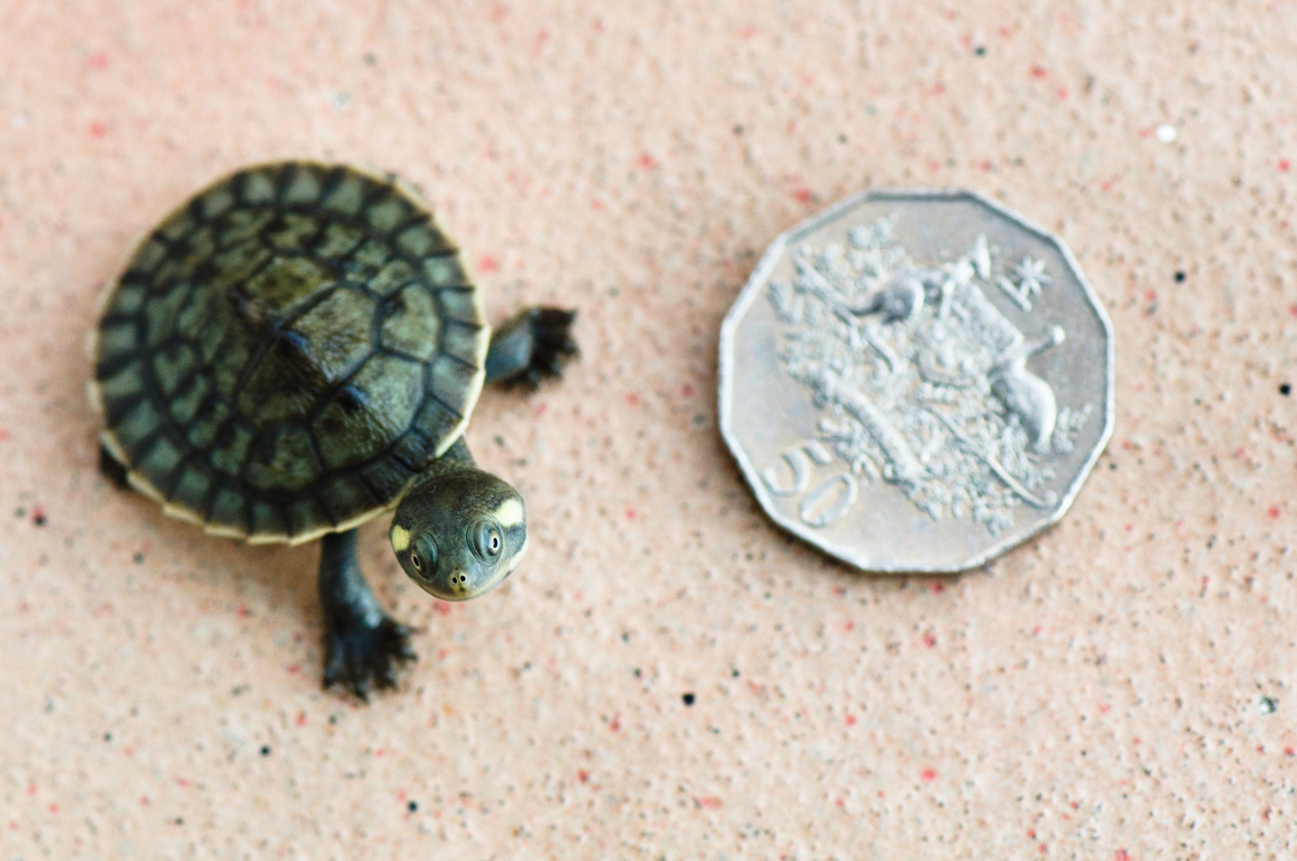 Baby turtle standing next to coin