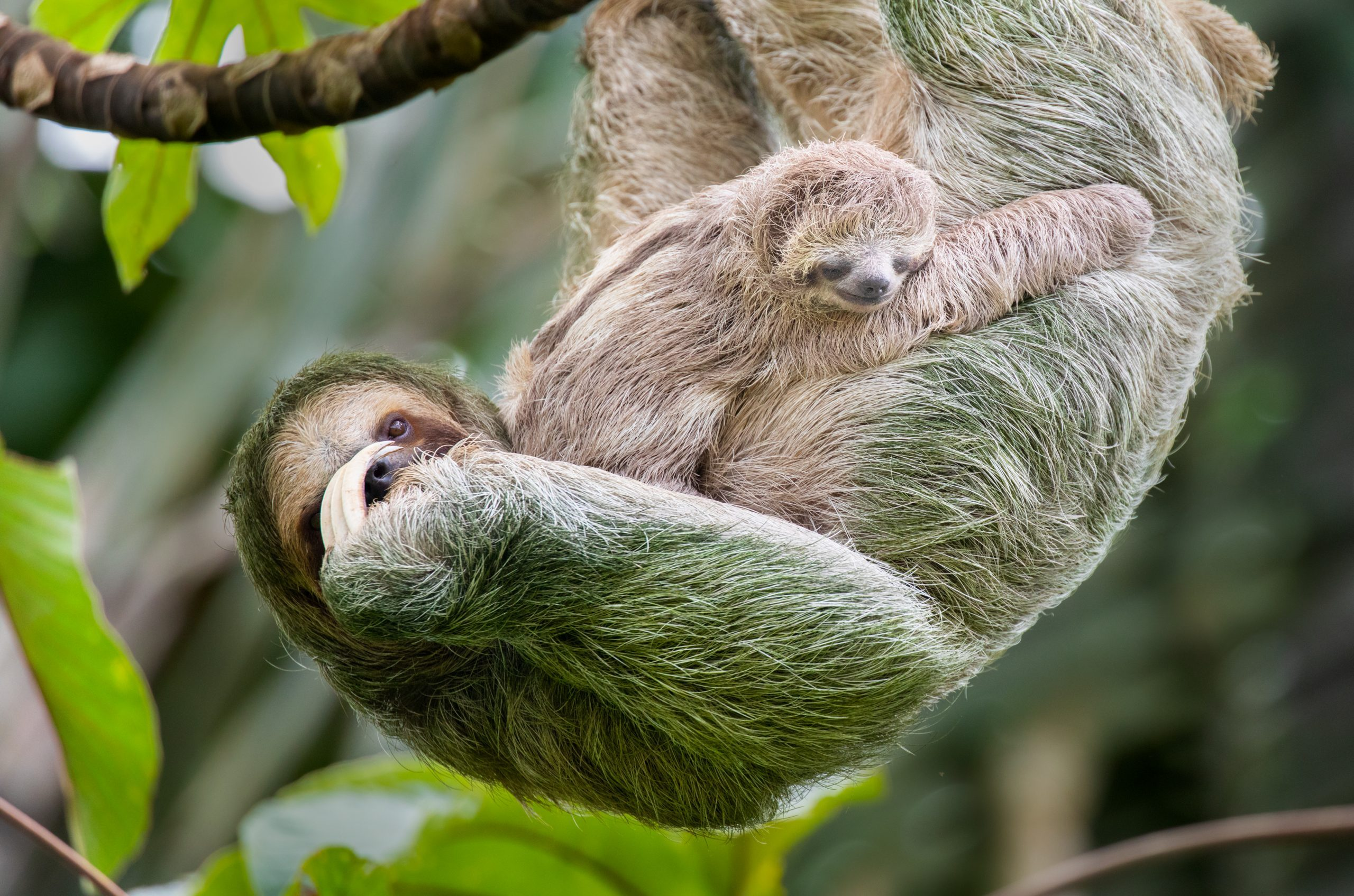 Brown-throated three-toed sloth mother and baby hanging in a treetop, Costa Rica