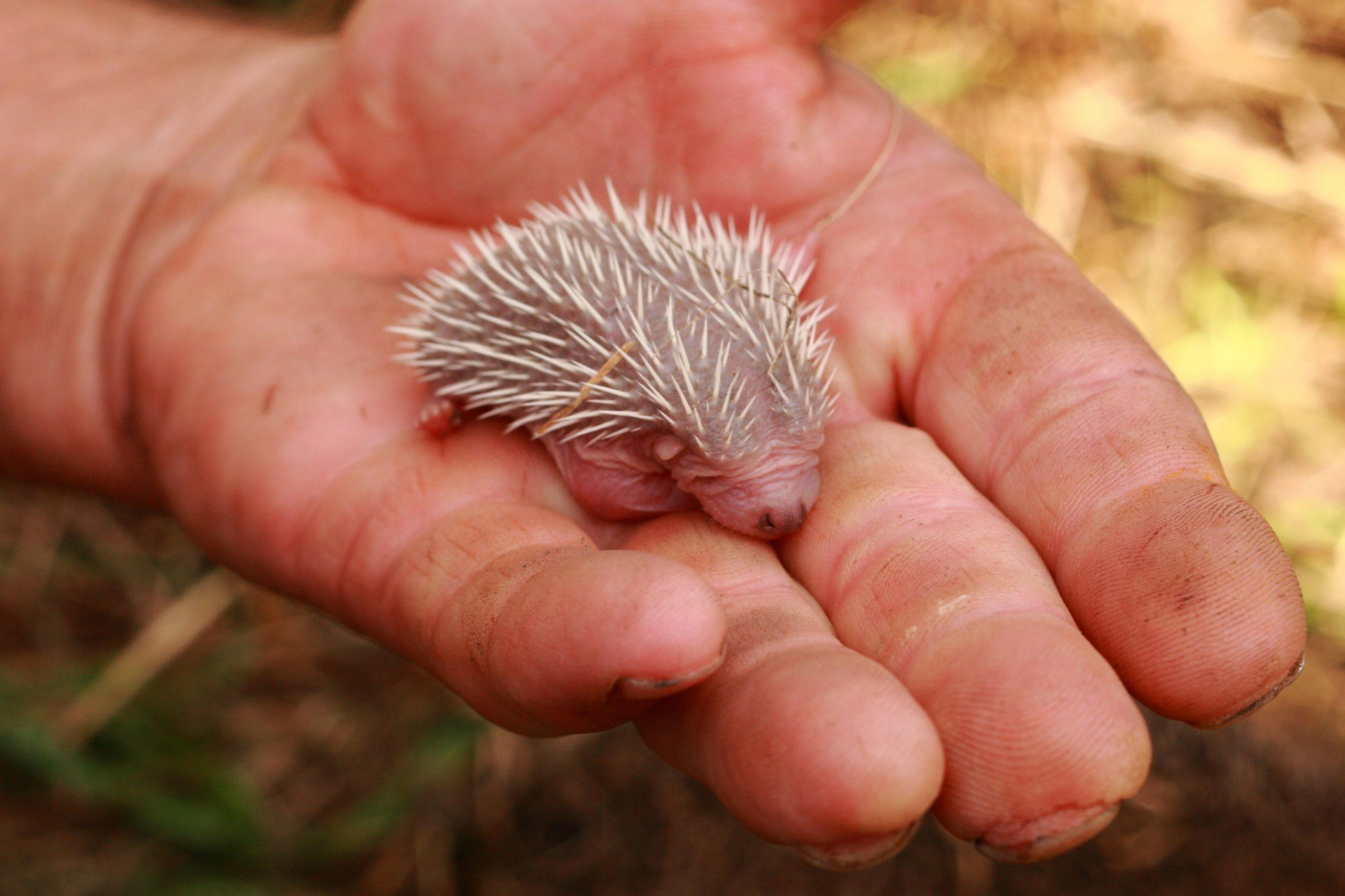 small hedgehog (newborn)