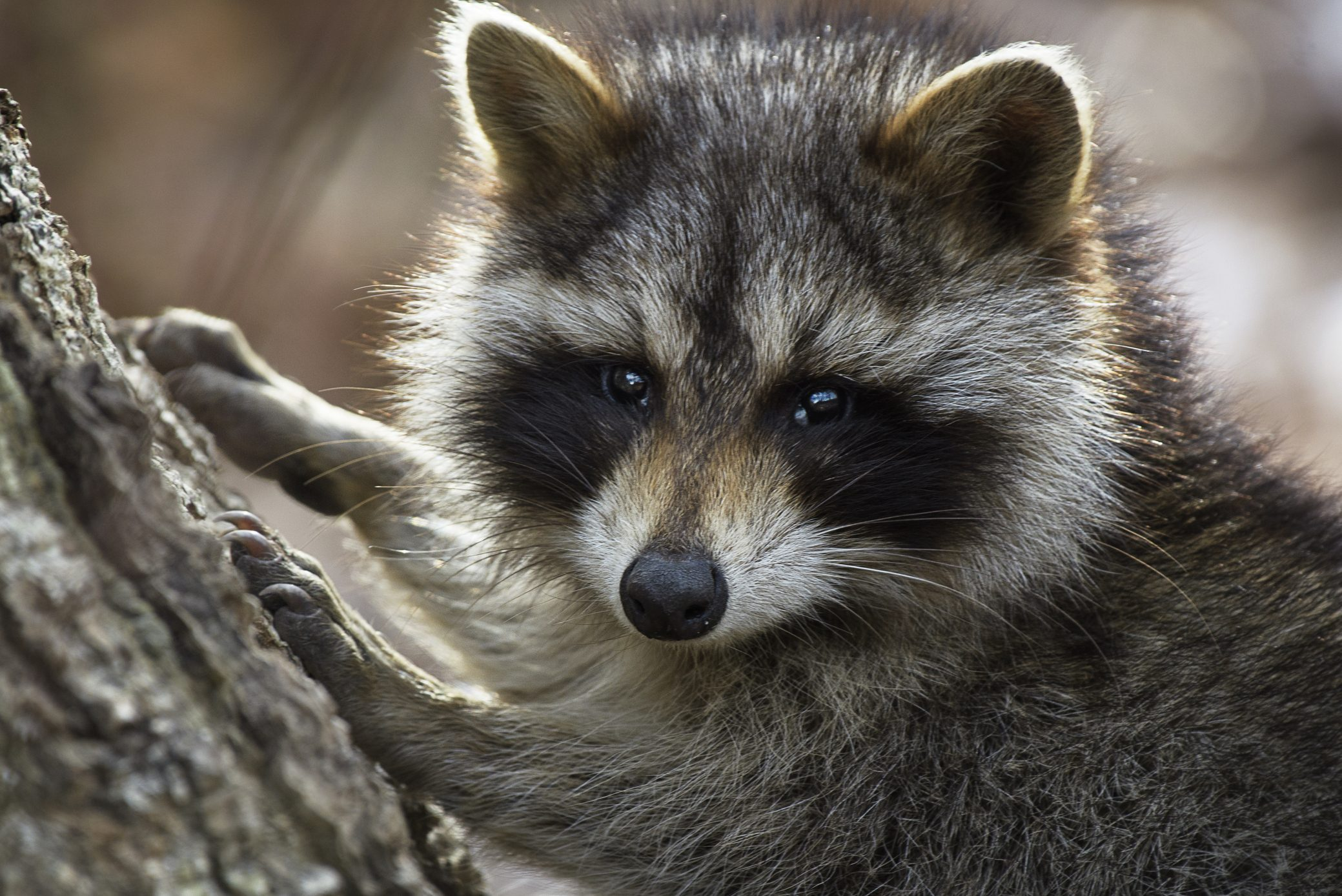 Adorable Raccoon Posing for Camera at Caumsett State Park, Long Island