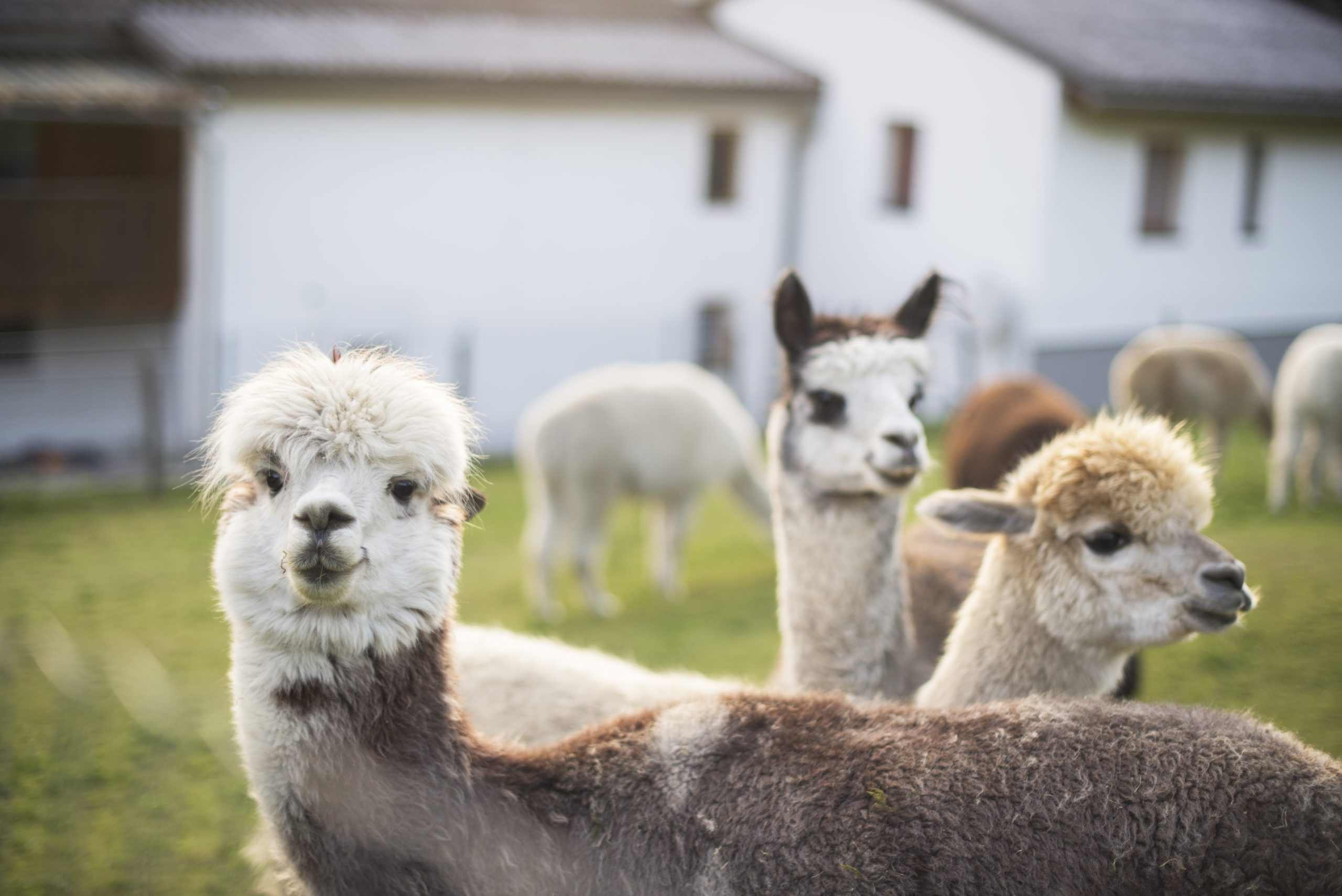 Young alpacas graze and feed on a lawn
