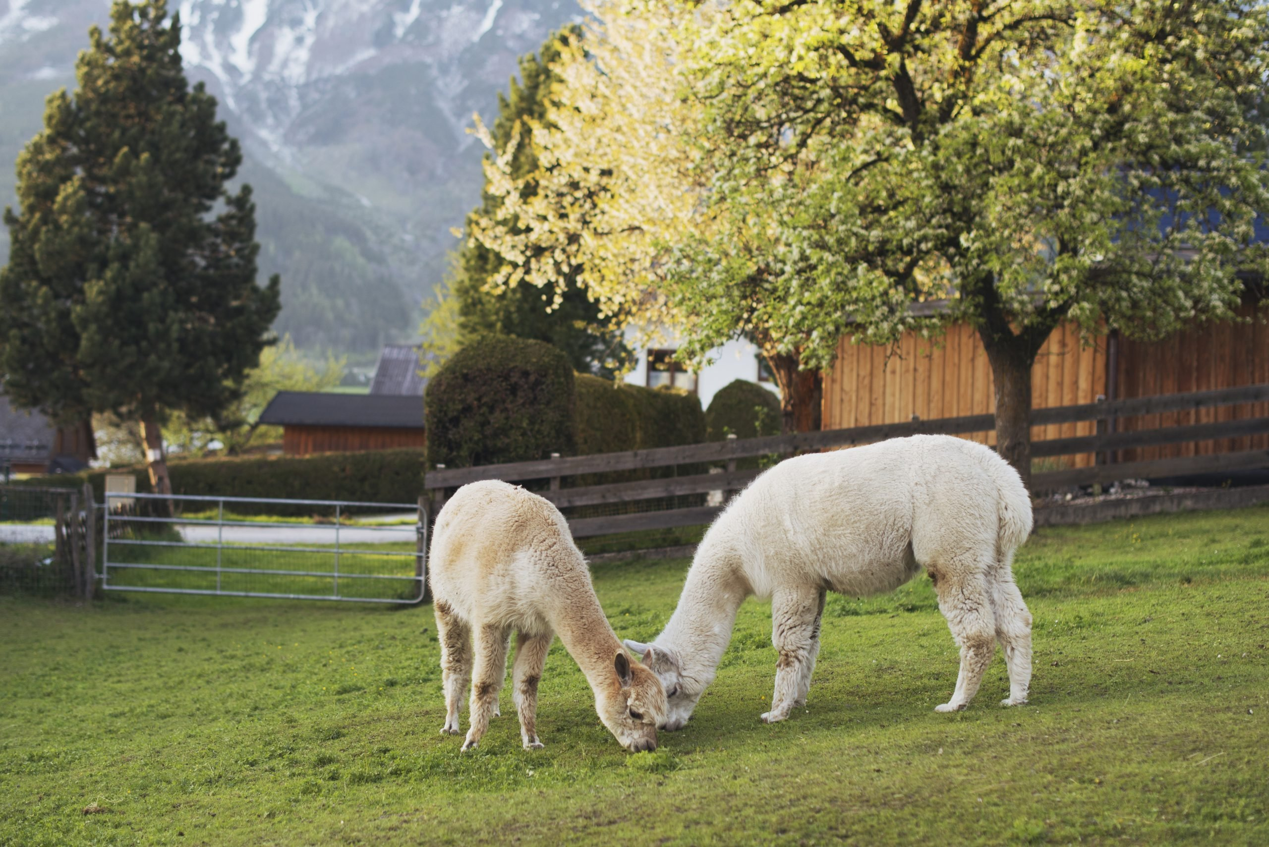 Two young alpacas graze and feed on a lawn