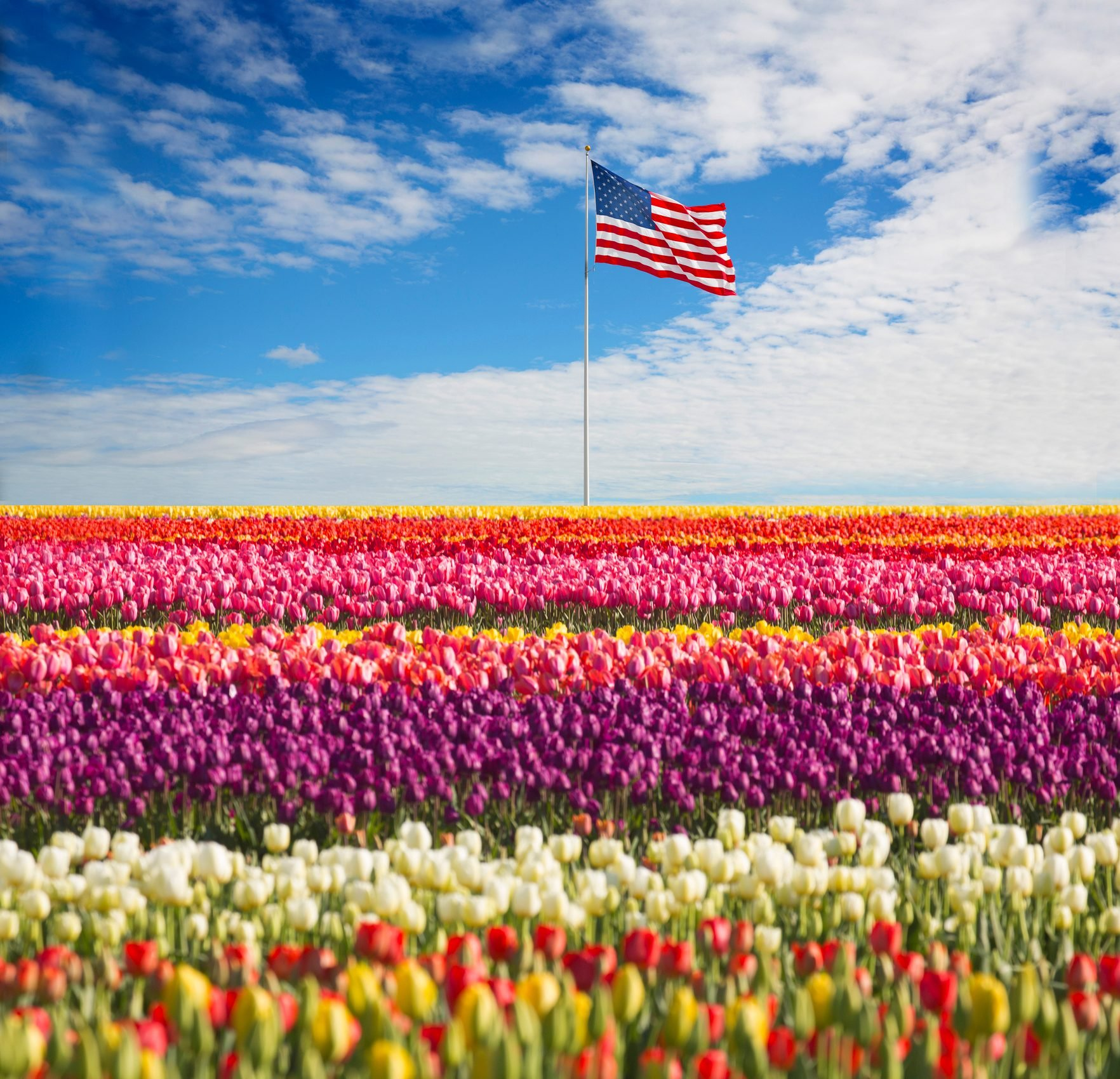an american flag on a pole with a tulip field in the foreground