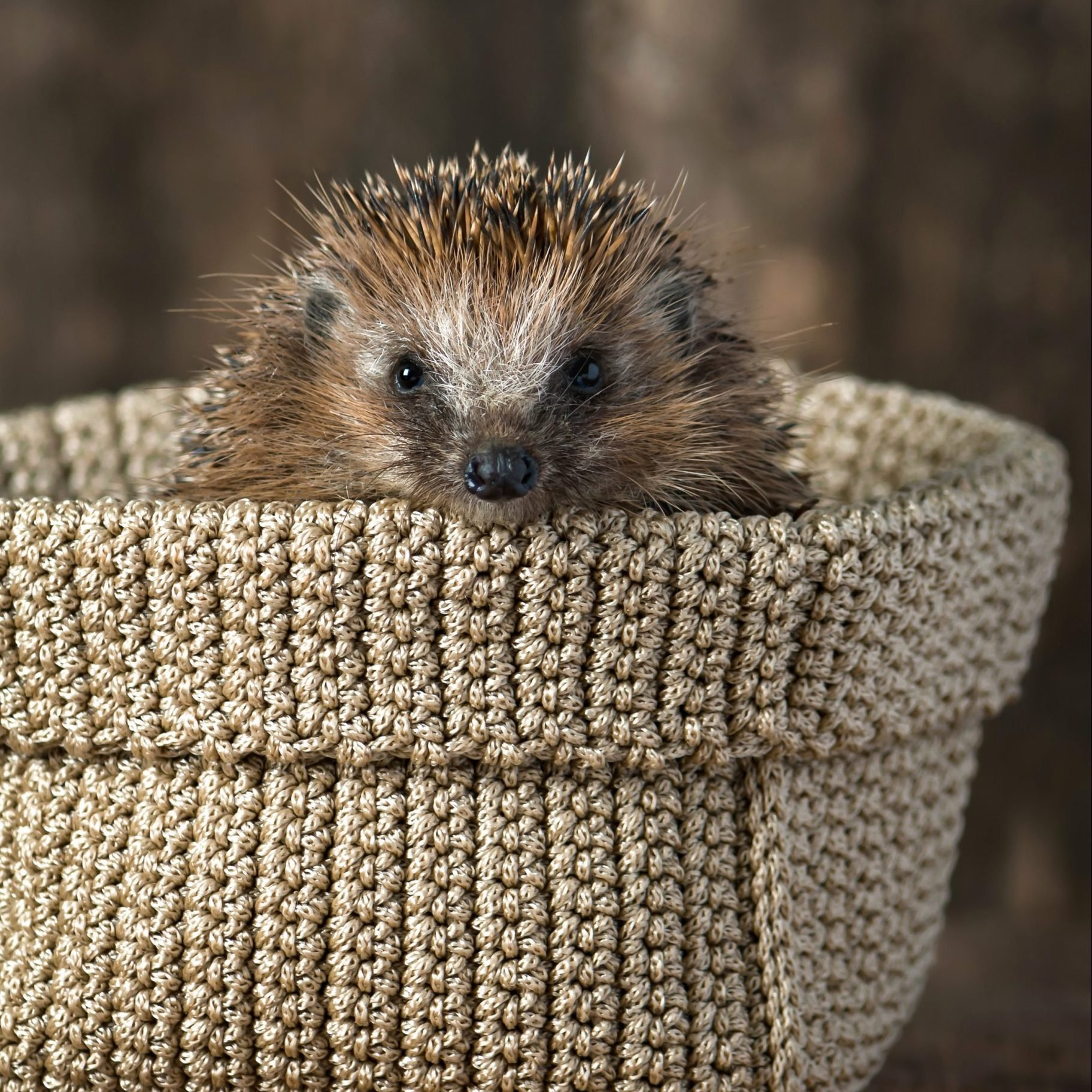 Cute young hedgehog in the knitted basket.