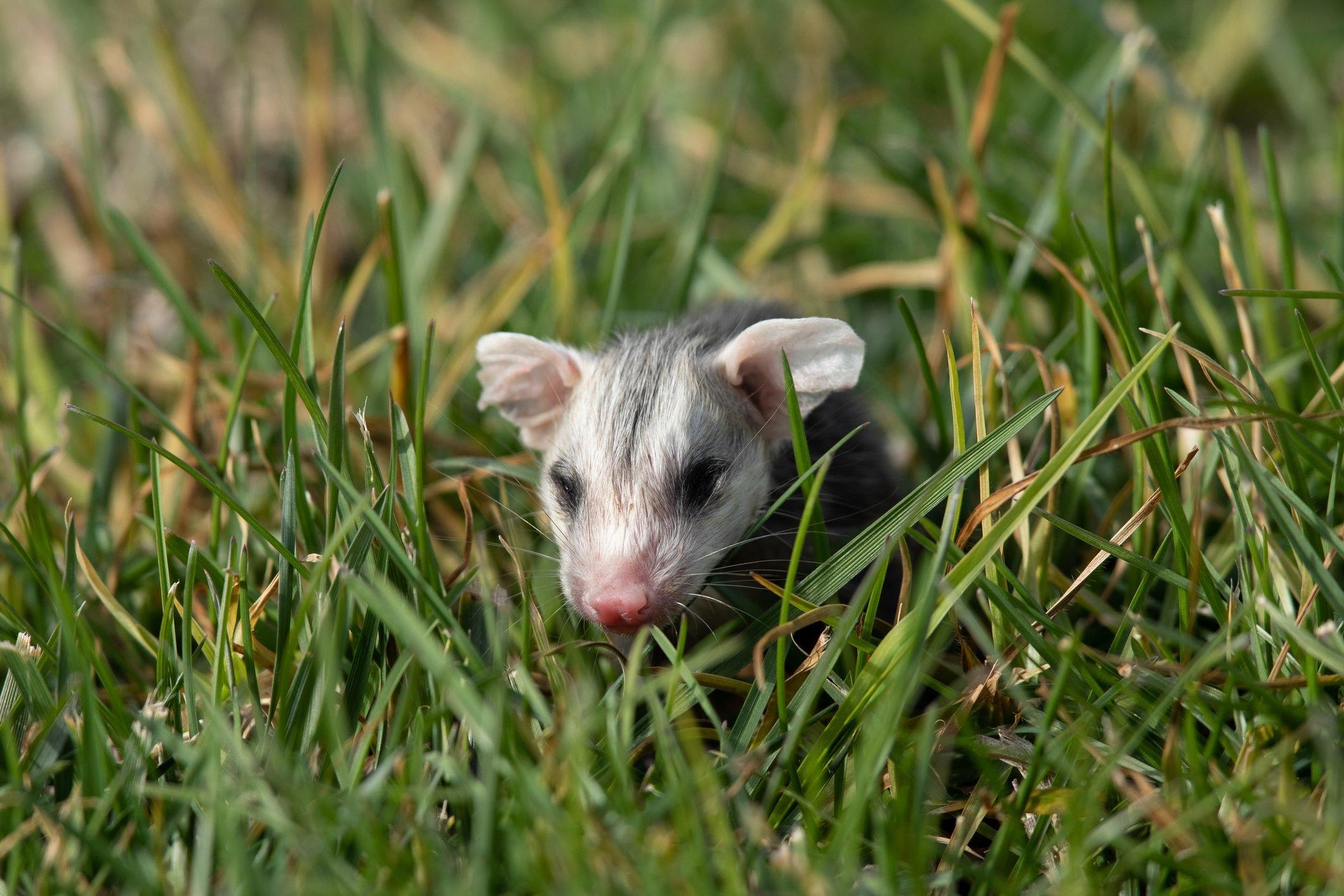 Baby opossum seen in the wild in North California