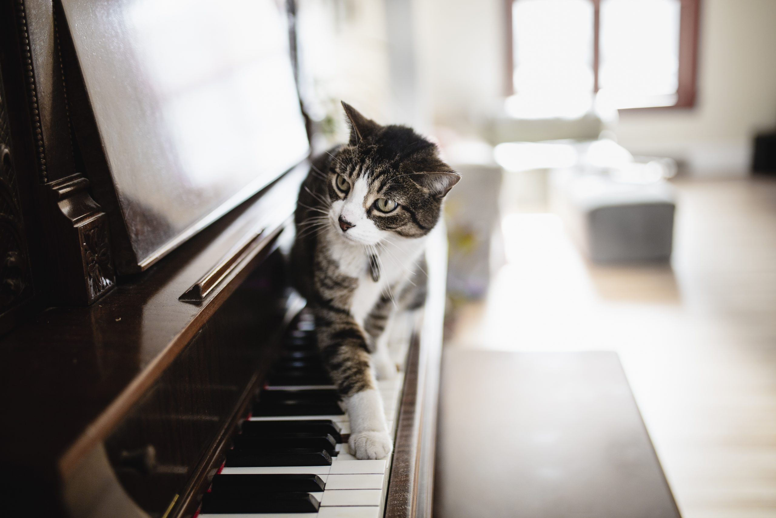 Domestic cat playing piano