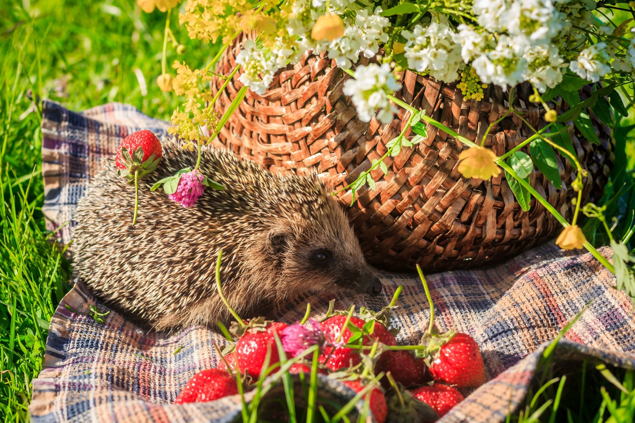 Hedgehog in the grass with strawberries on the background of a basket wicker,