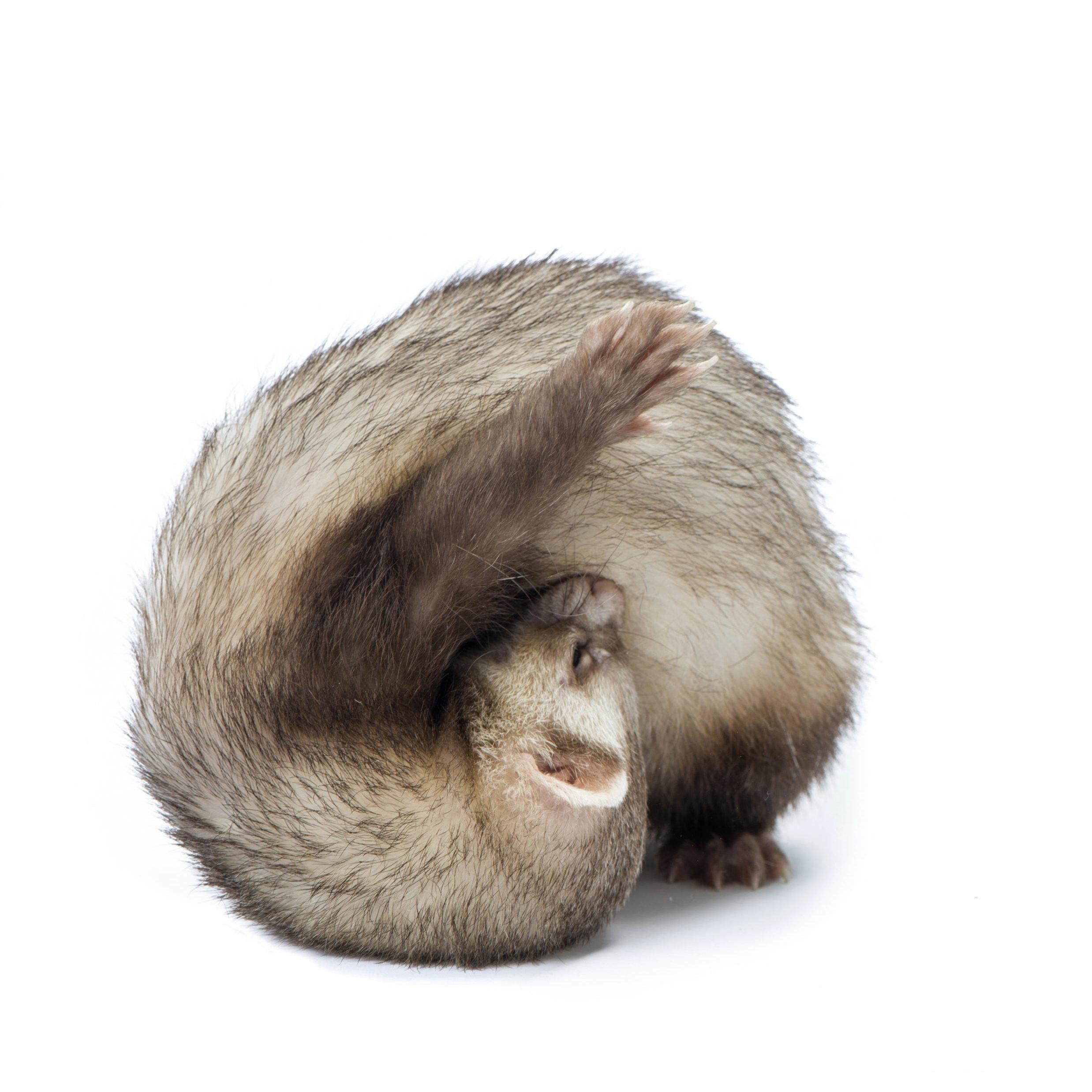 Studio shot of ferret stands in yoga asana isolated on white