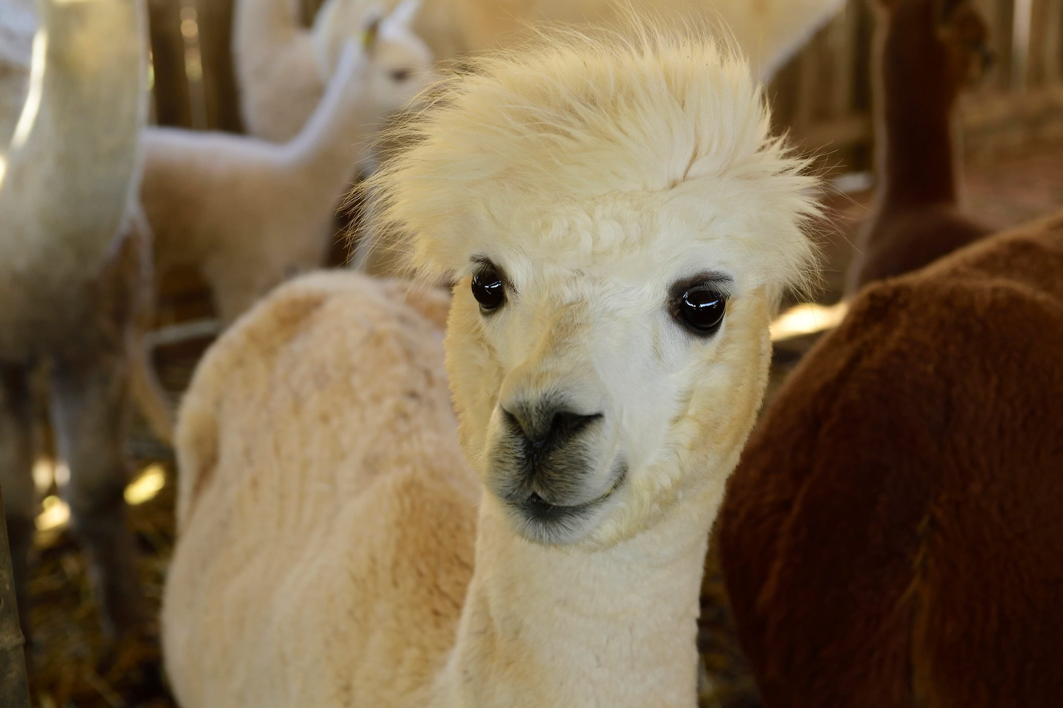 Portrait of young alpaca at stable
