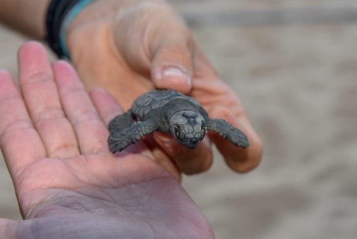 New born baby turtles at Praia do Forte, Brazil