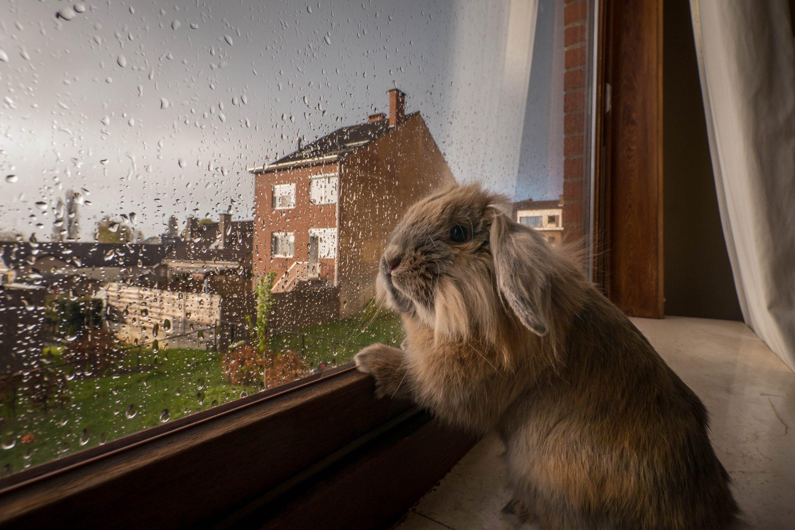 Rabbit looking through window pane in rain