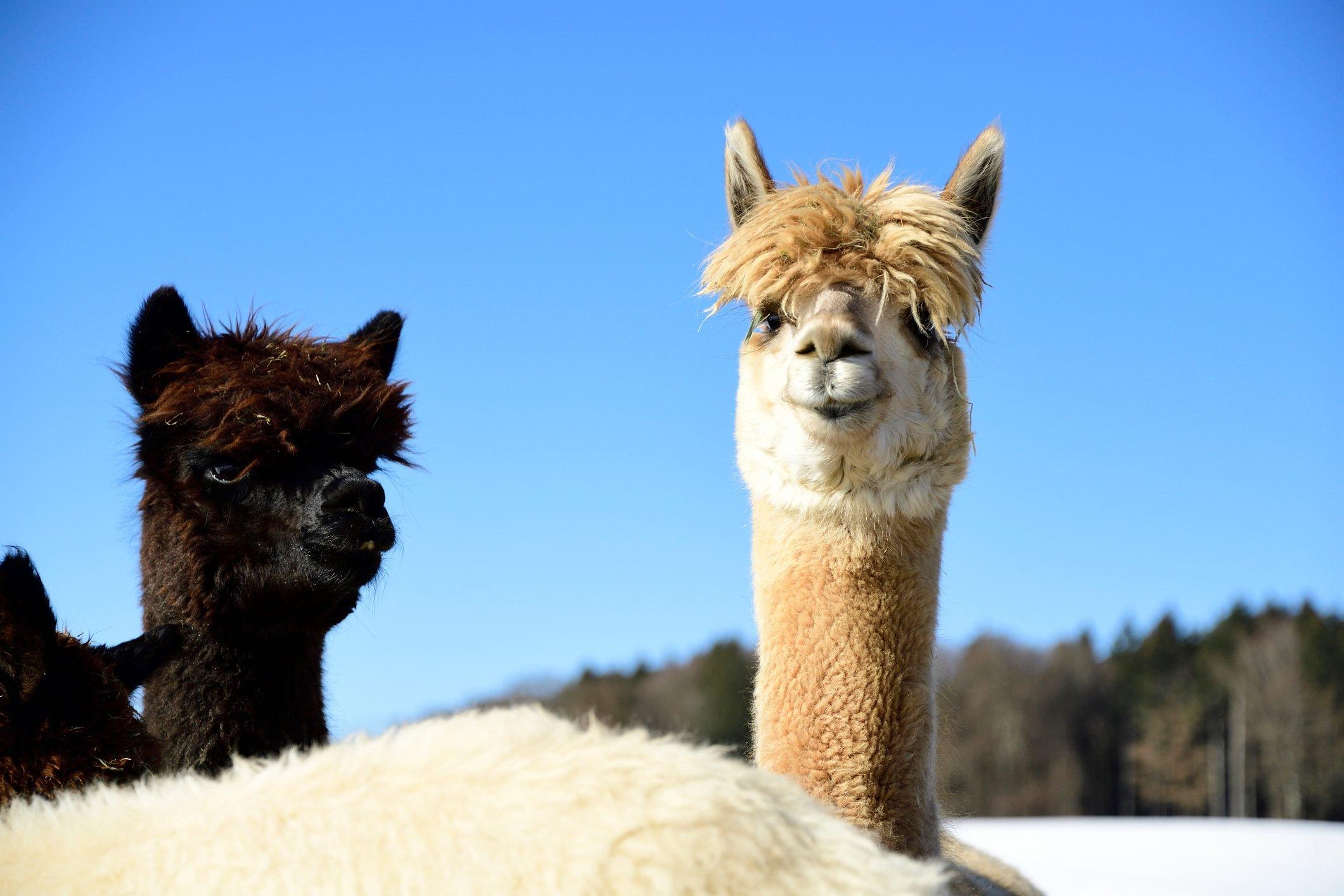 Portrait of two alpacas outdoors in winter