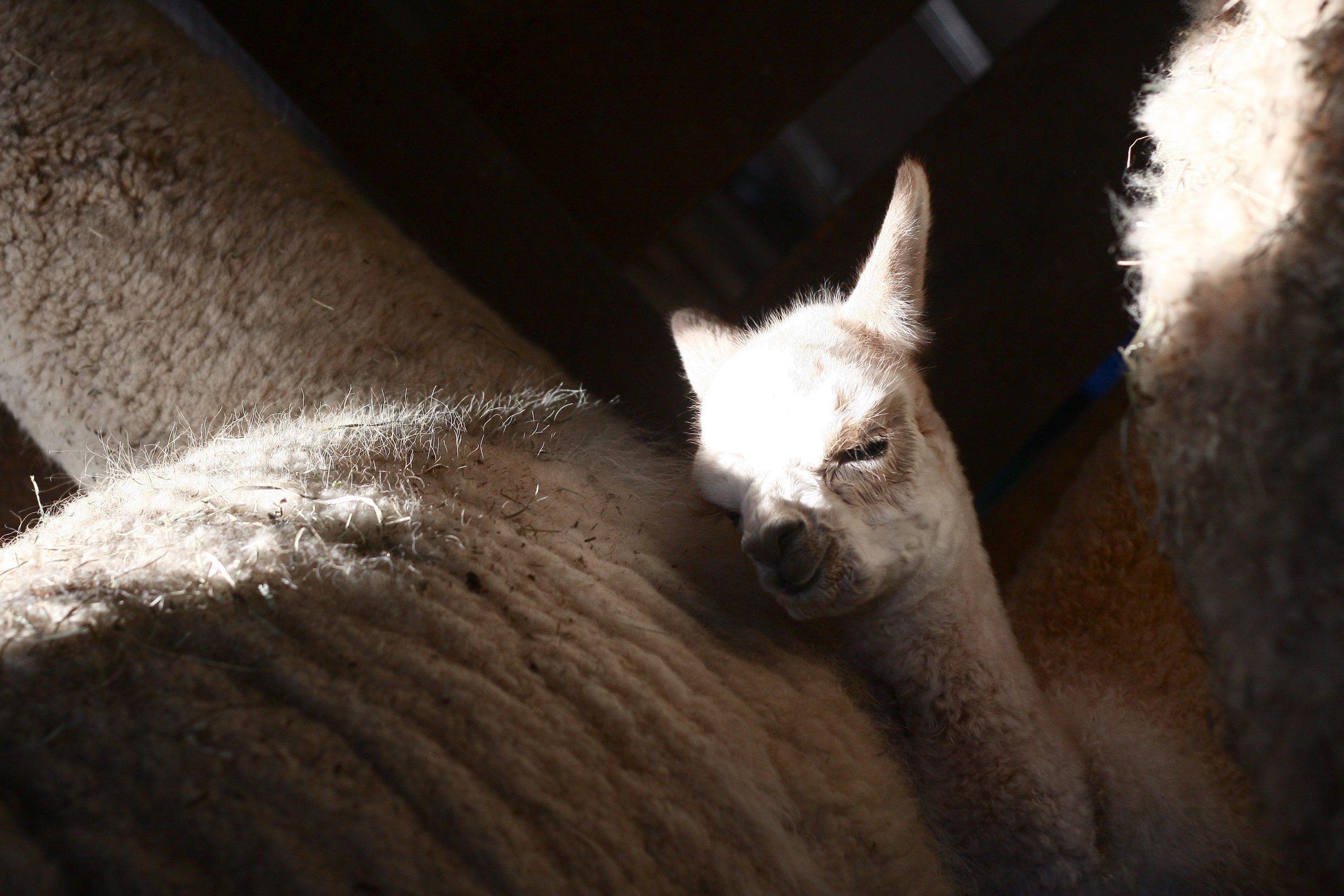 Baby and Mama Alpaca