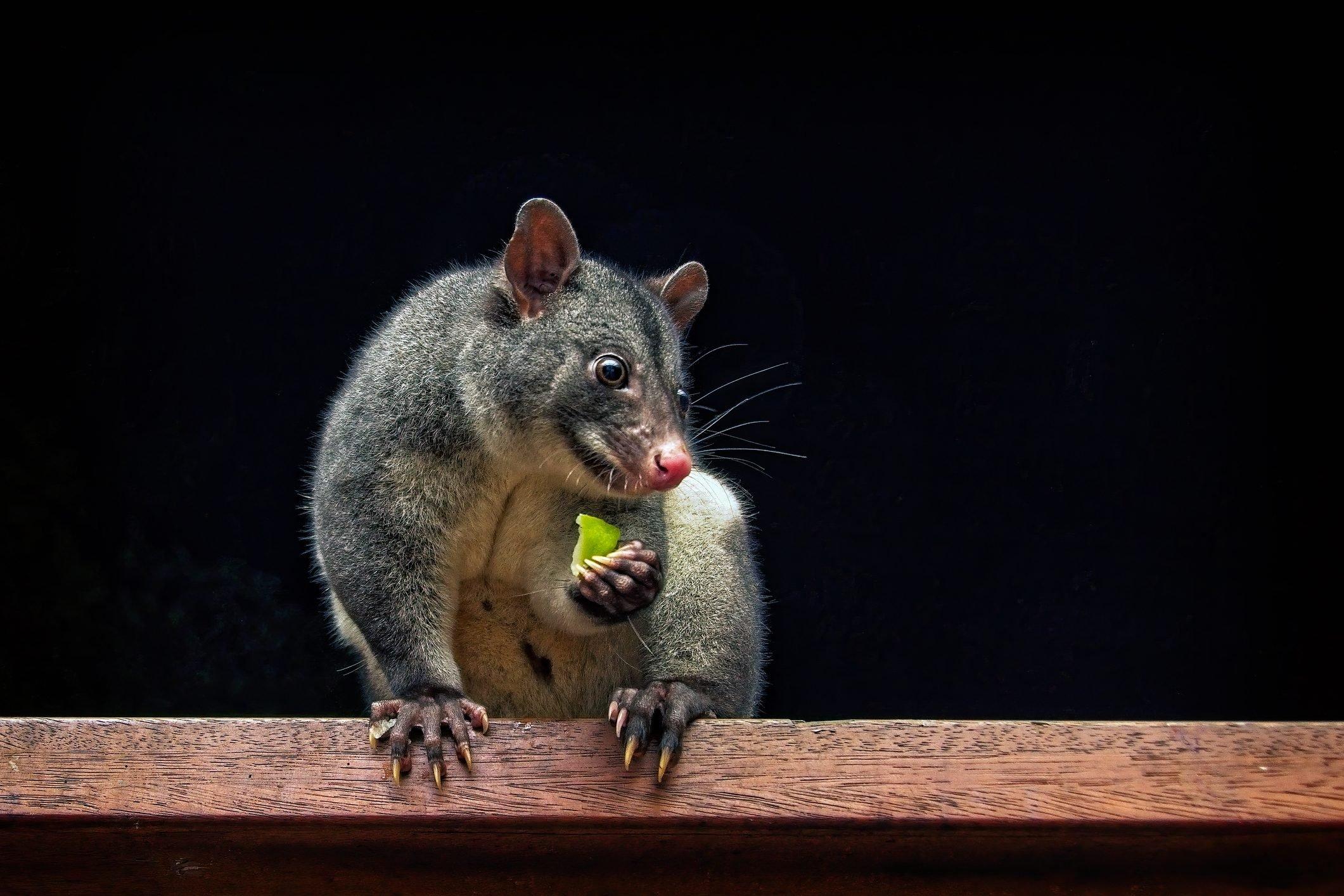 Mountain Possum (Trichosurus caninus)