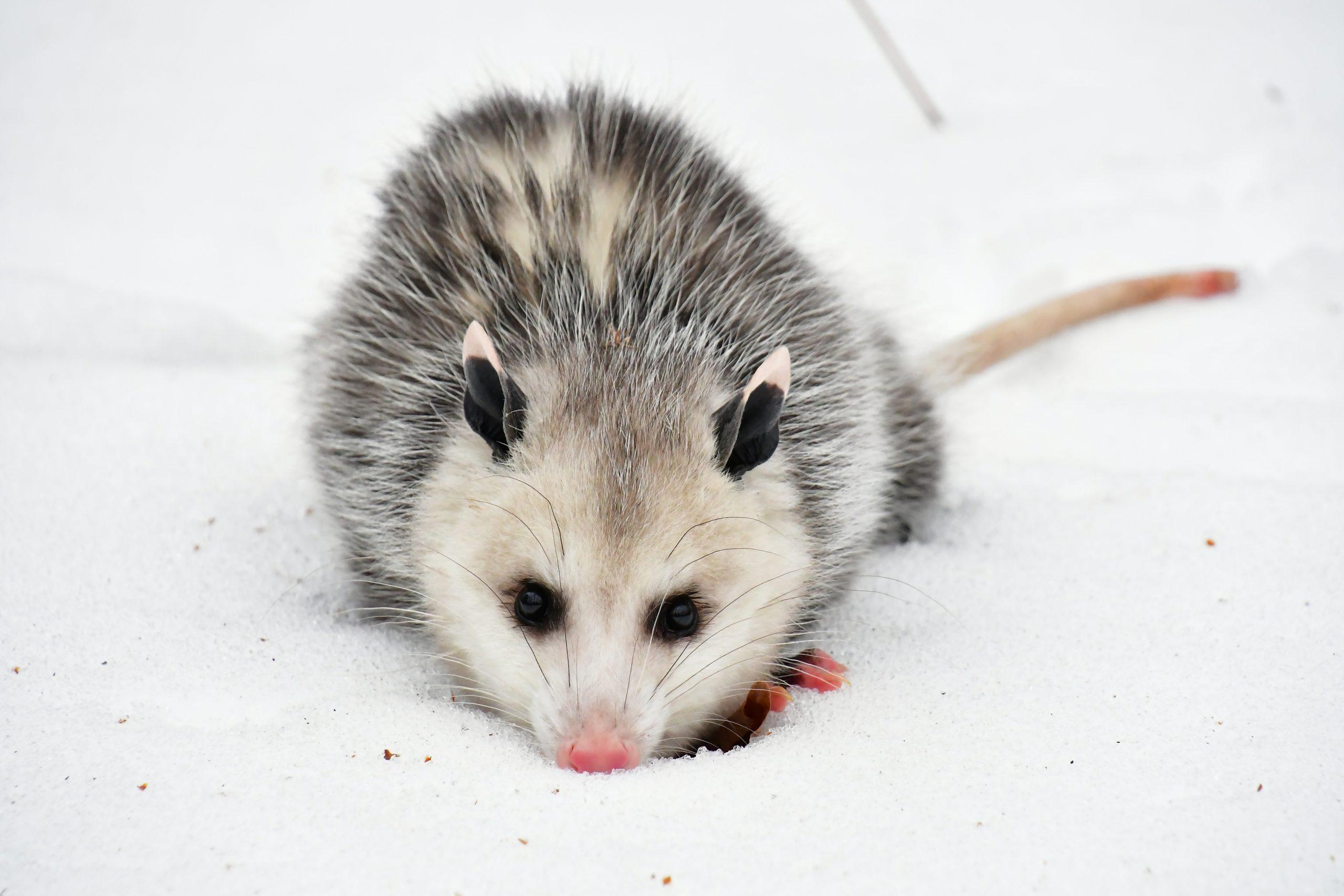 Opossum standoff