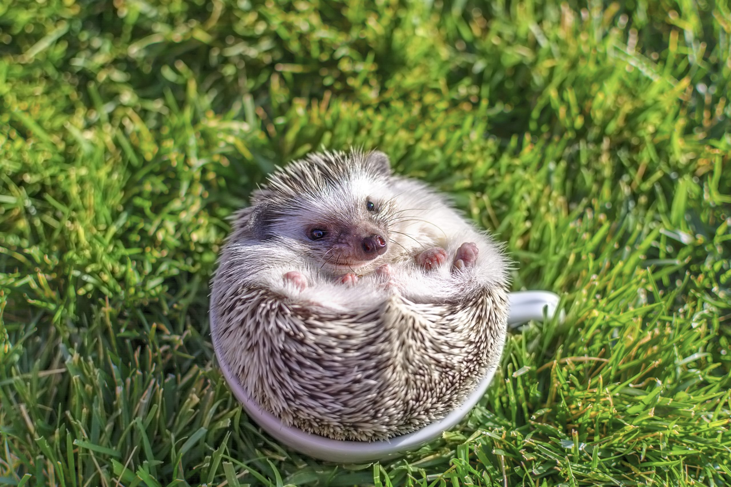Young african hedgehog in white in the cup on the grass