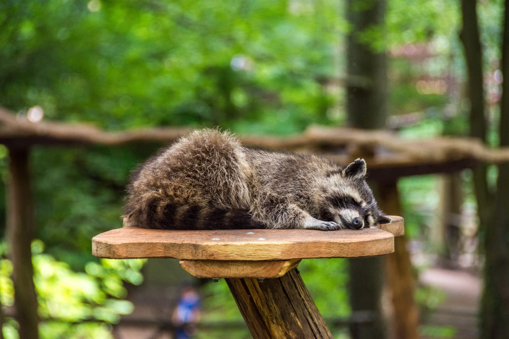 Raccoon Sleeping On Wood At Zoo