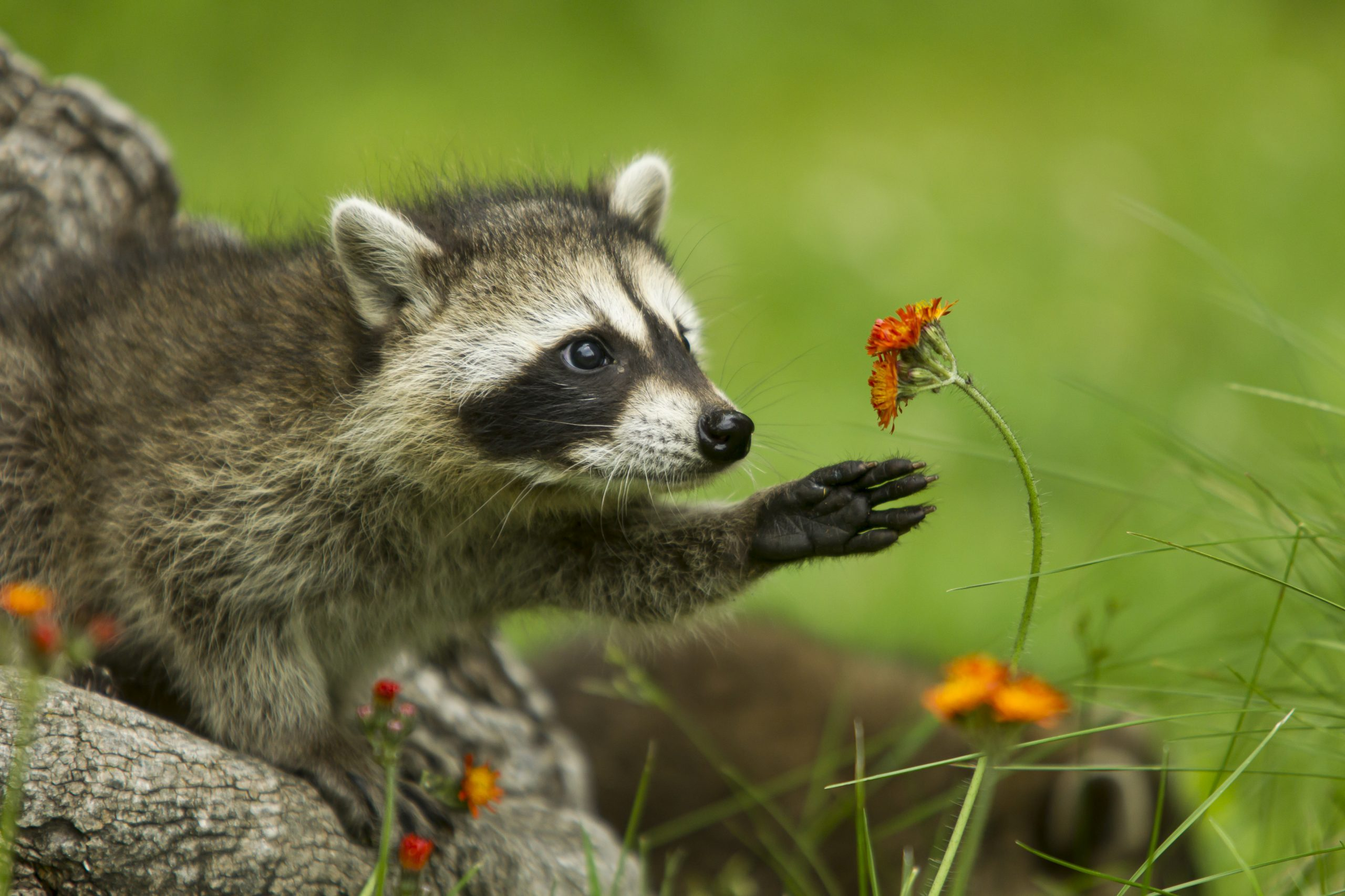 Northern Raccoon reaching for flower