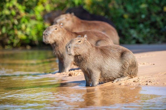 Capybara (Hydrochoerus hydrochaeris), Pantanal wetlands, Brazil