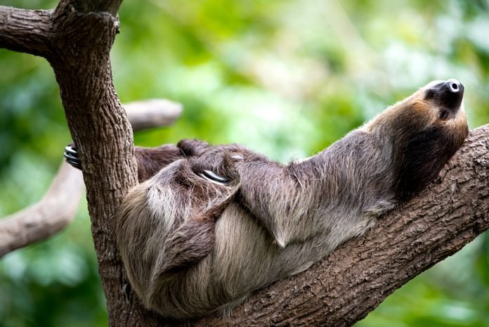 sloth lies on a tree in Singapore zoo