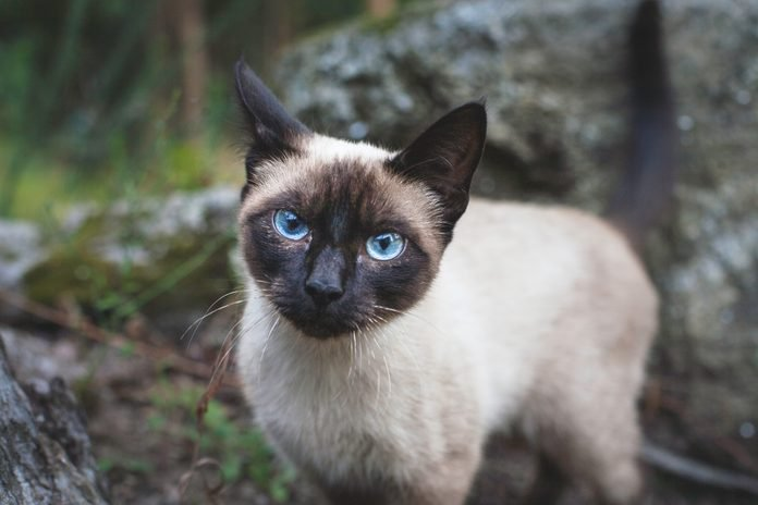 A Stray Burmese Cat in the Forest, Galicia, Spain.