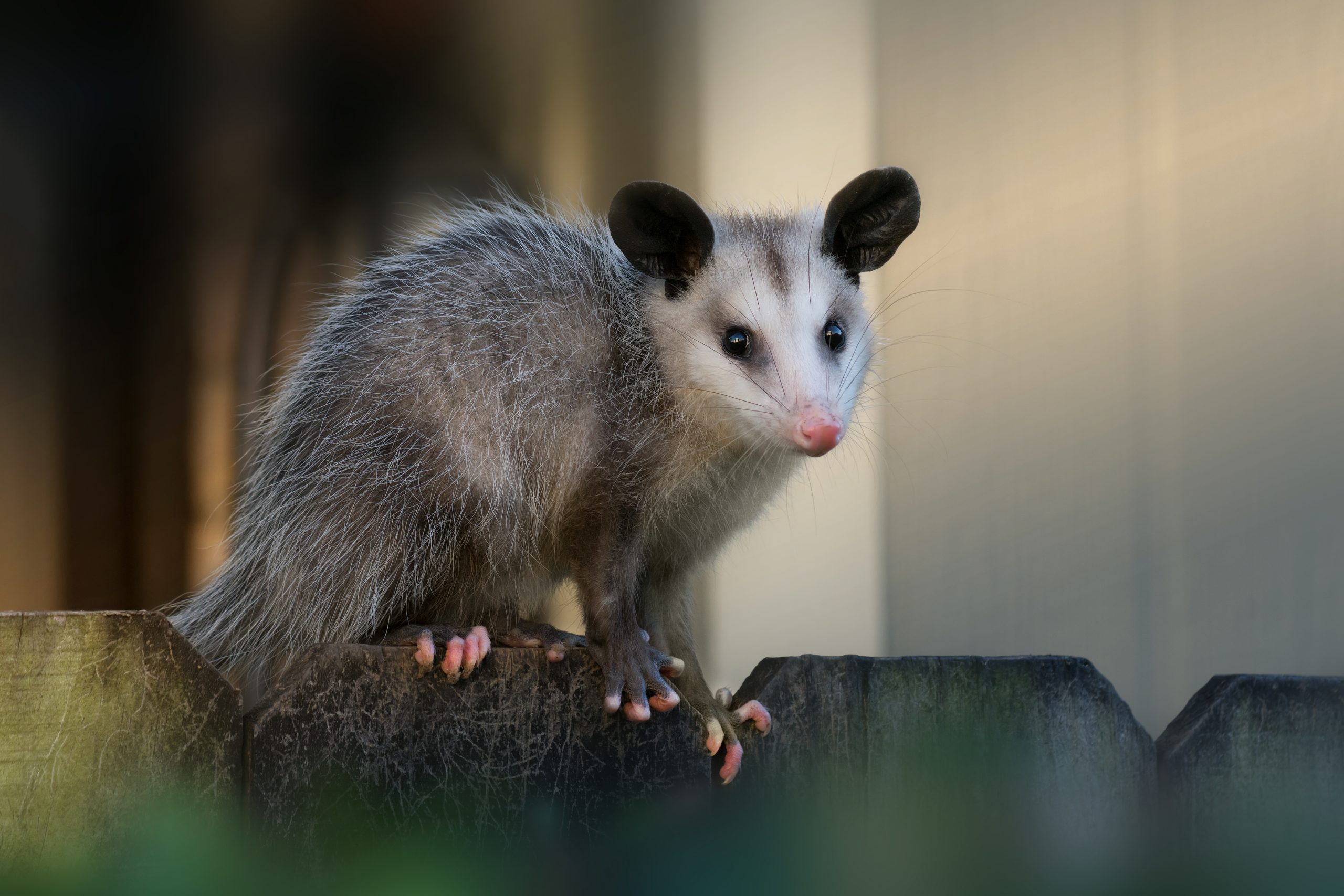 Young North American opossum (Didelphis virginiana) sits on a fence near the house.