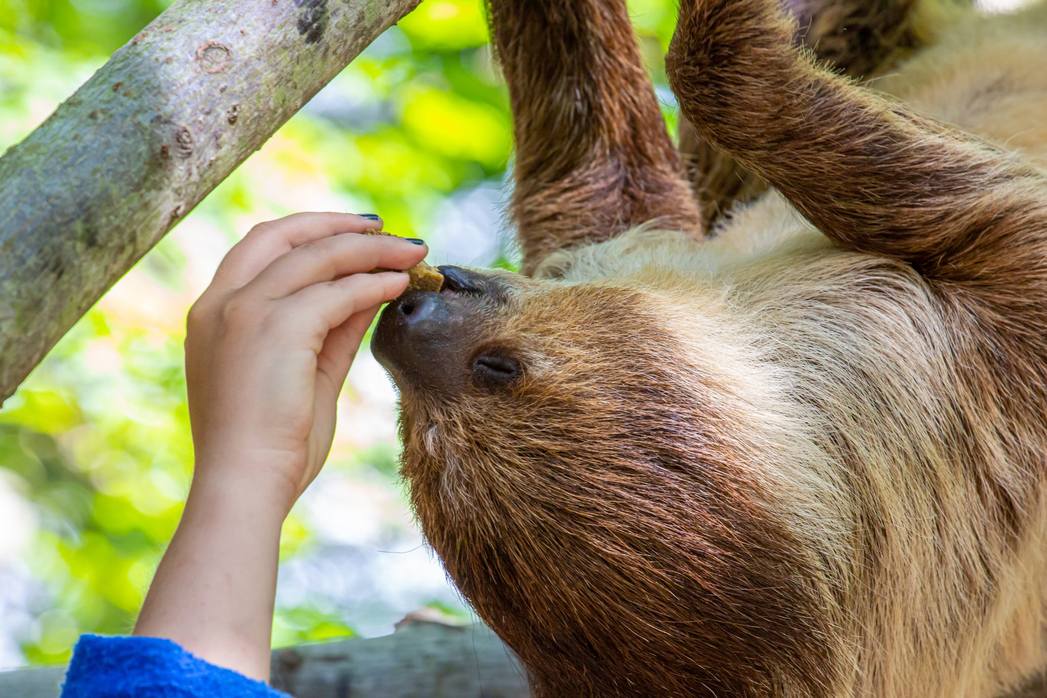 Two-toed sloth being handfed while hanging on branch
