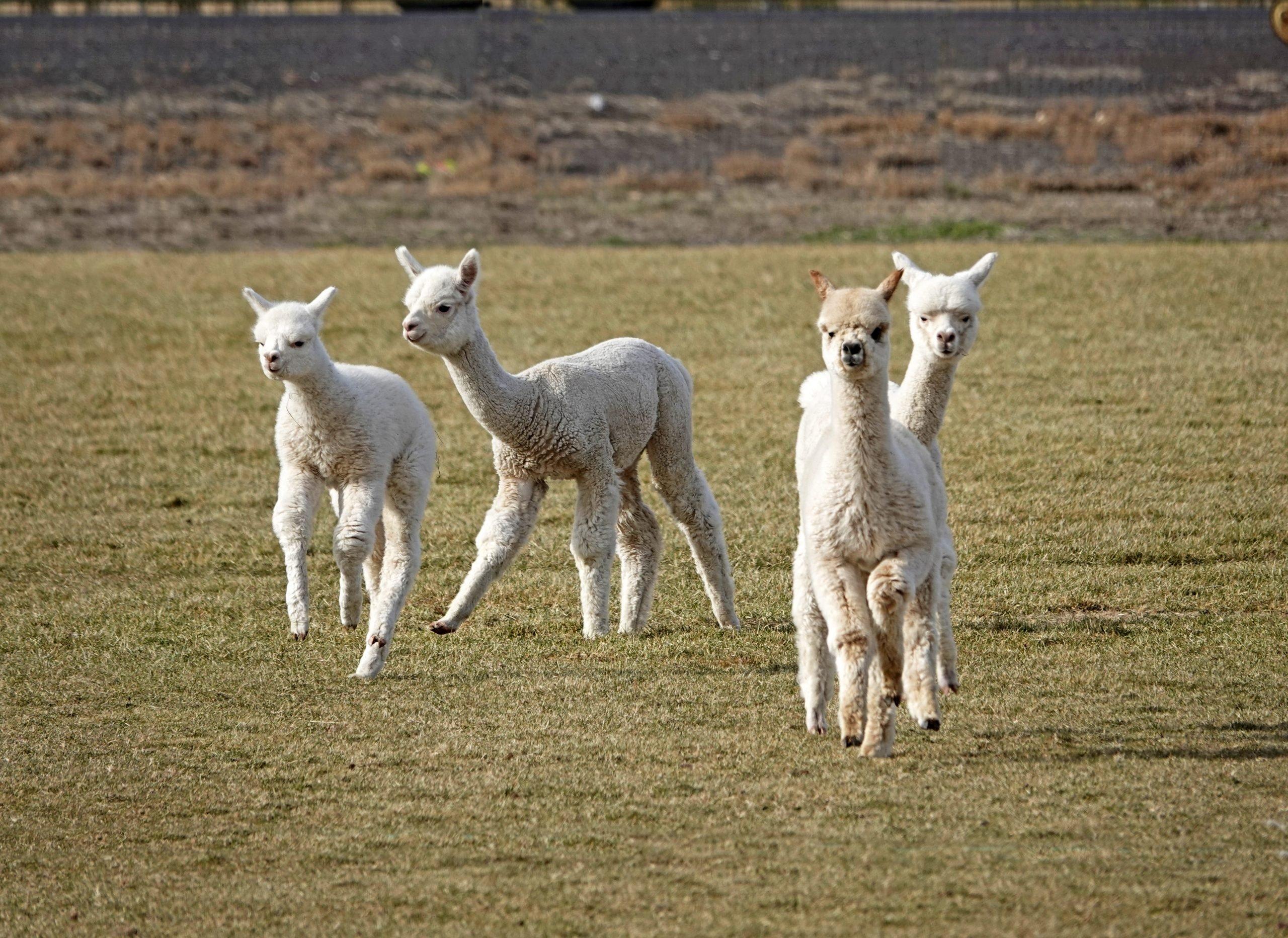 Suri Alpacas In A Pasture