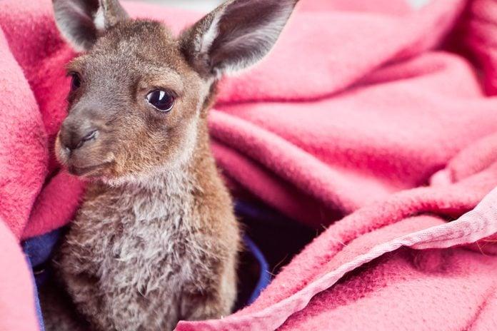 Baby Kangaroo - Joey