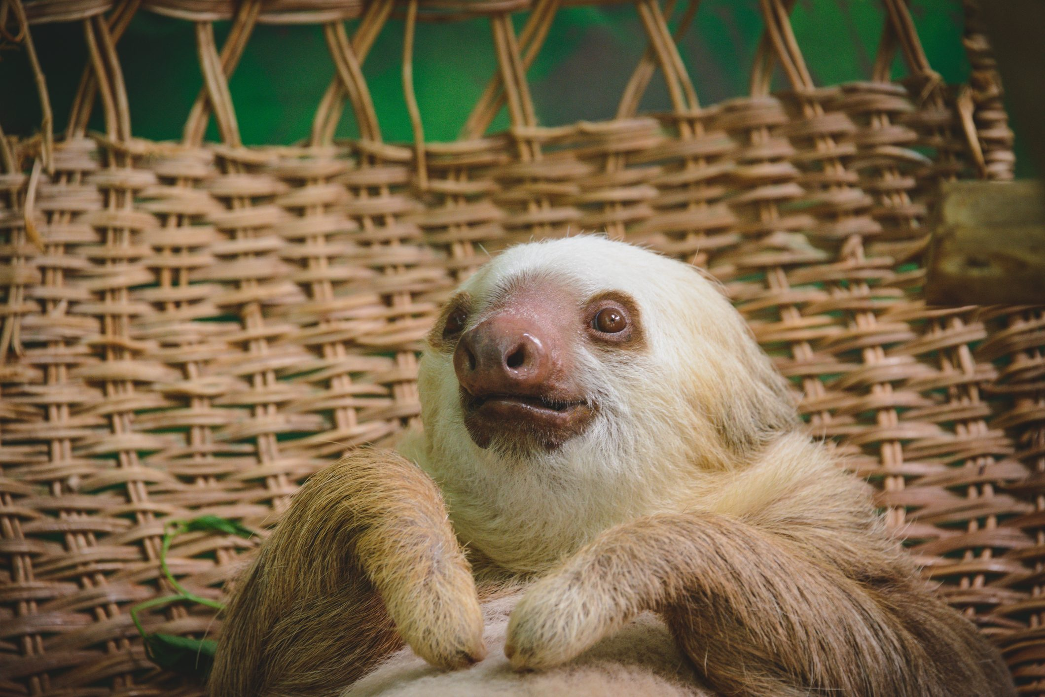 rescued sloth