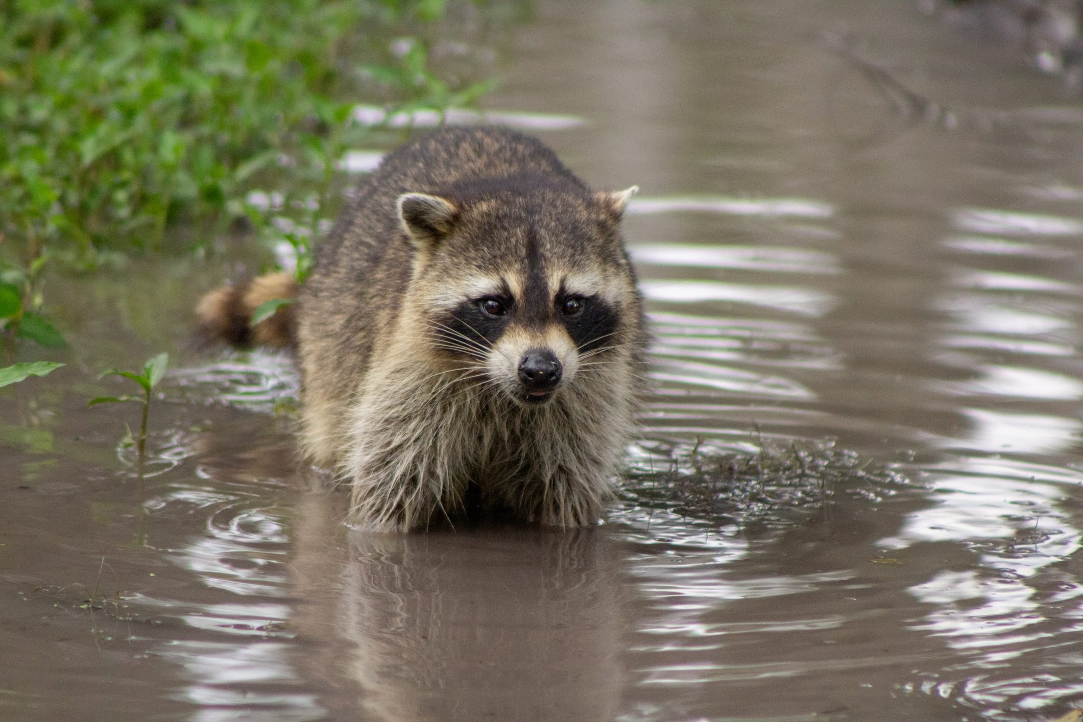 Raccoon Washing Up In Puddle