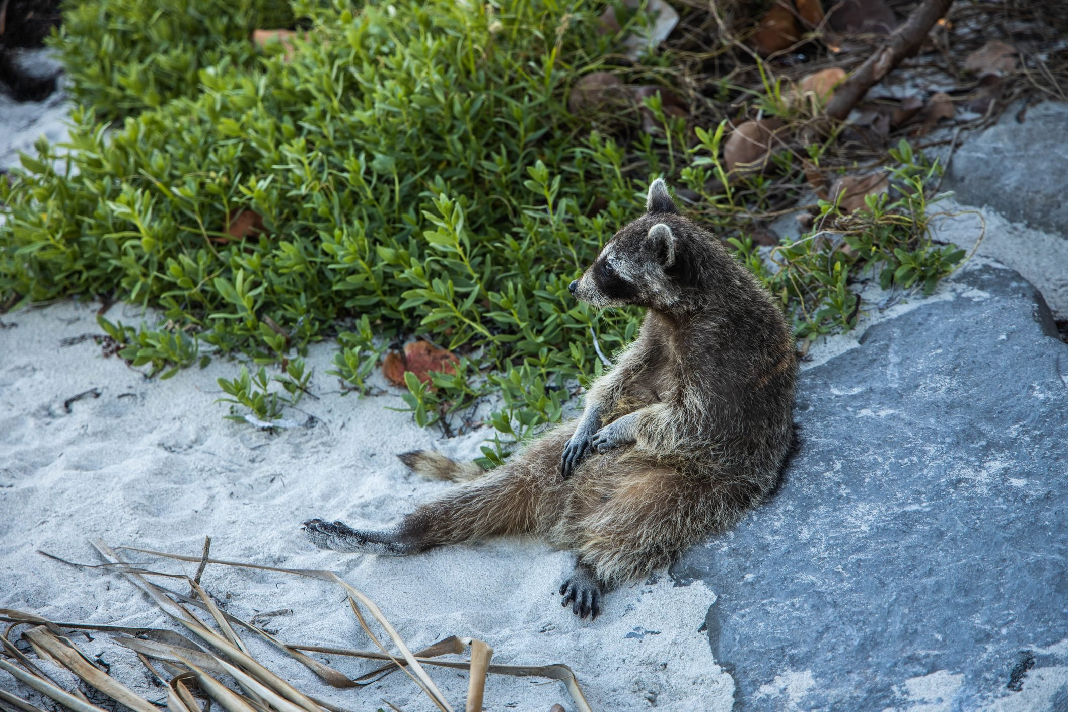 Sighting funny raccoon in the Key Biscayne state park scratching belly.
