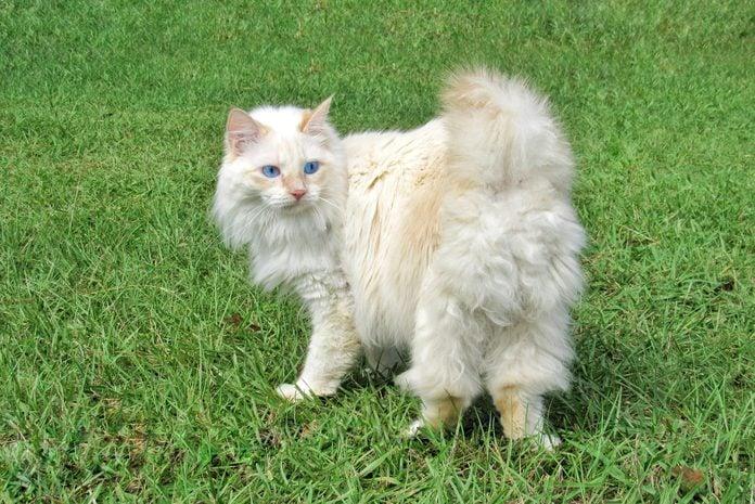 White American Bobtail Manx Cat Outdoors