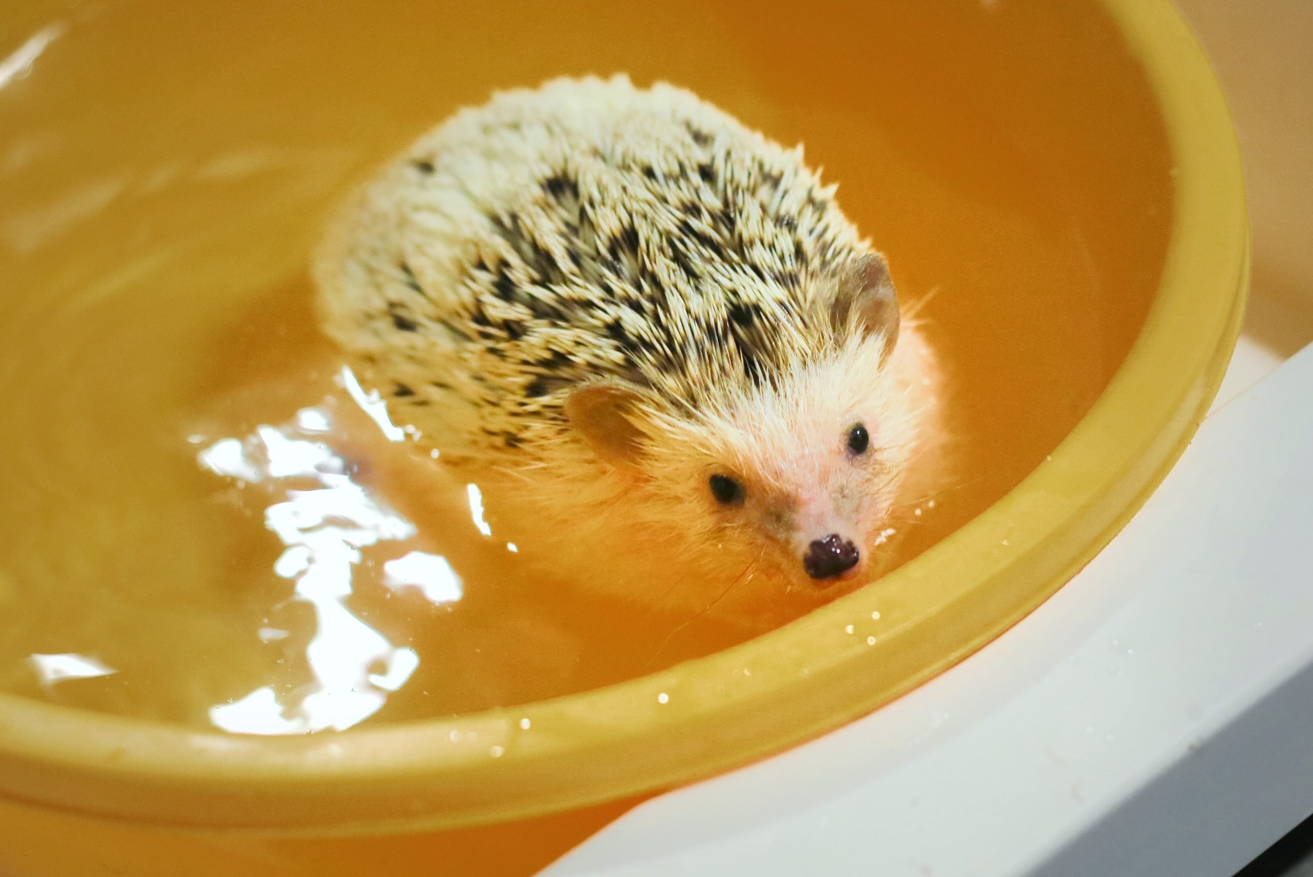 Young Hedgehog Swimming On The Yellow Bowl. Soft Focus. Animal Concept.