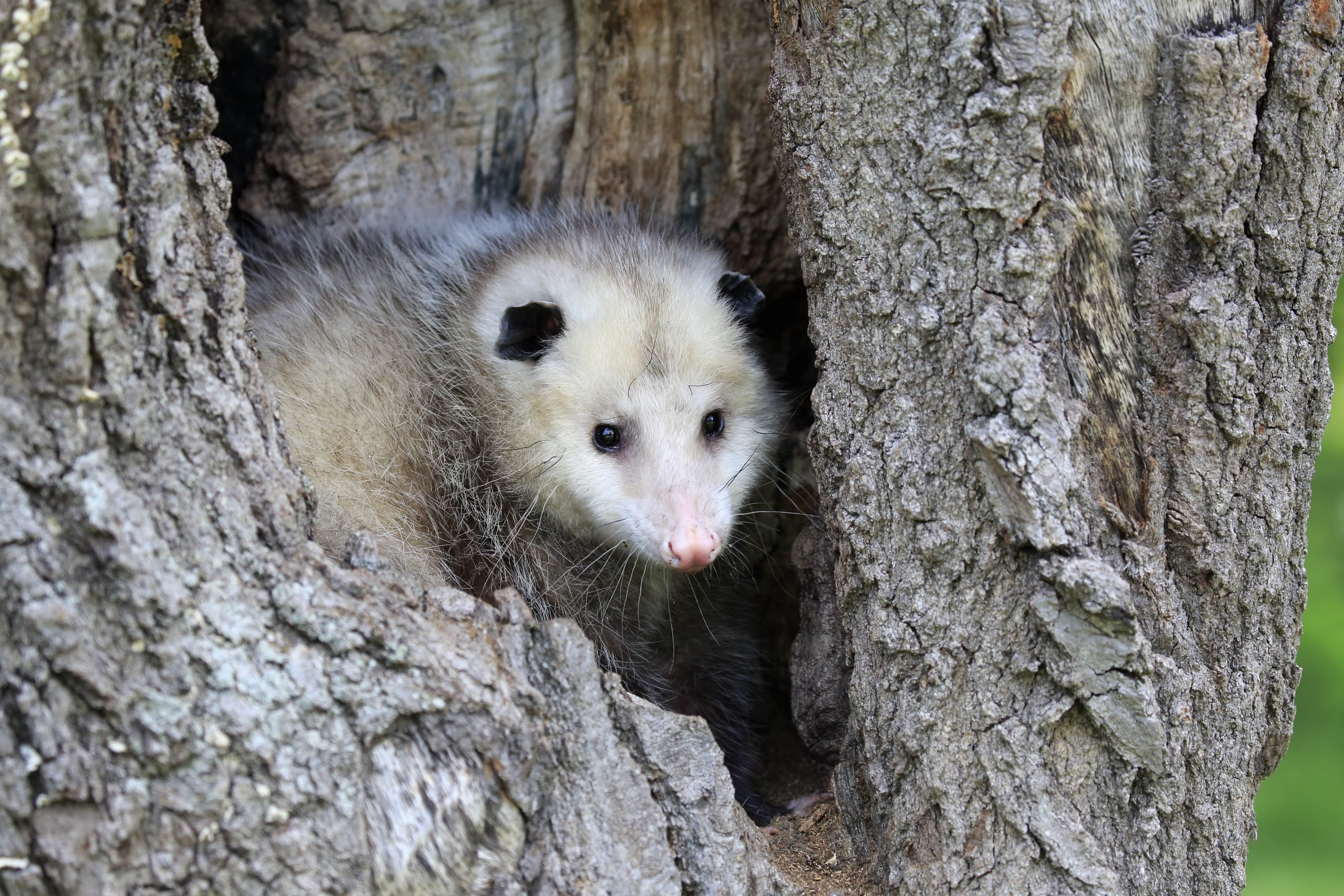 Virginia opossum, North American opossum, (Didelphis virginiana), adult looking out of den, Pine County, Minnesota, USA, North America