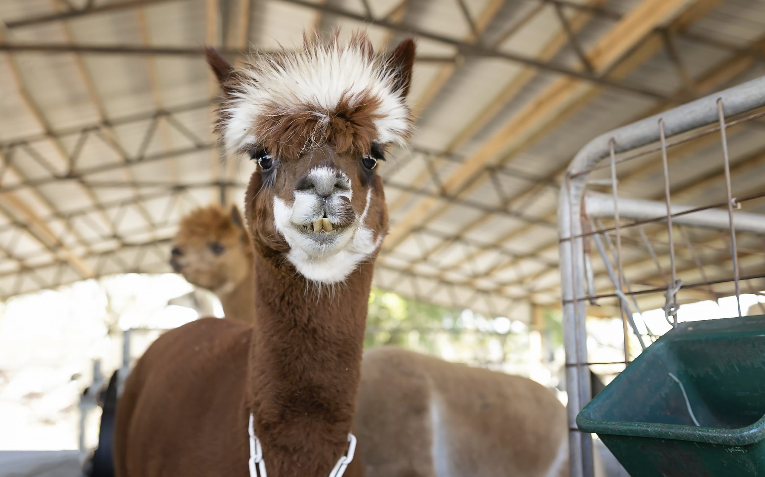 Dark brown Suri alpaca with white tuft of hair looking into camera