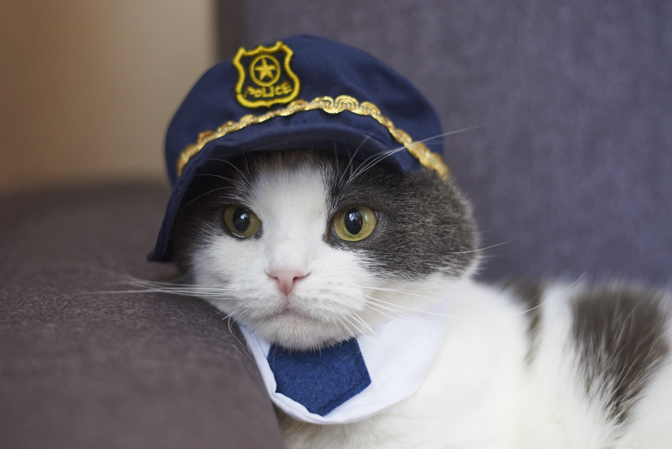 Portrait of a funny cat in a police hat and tie.