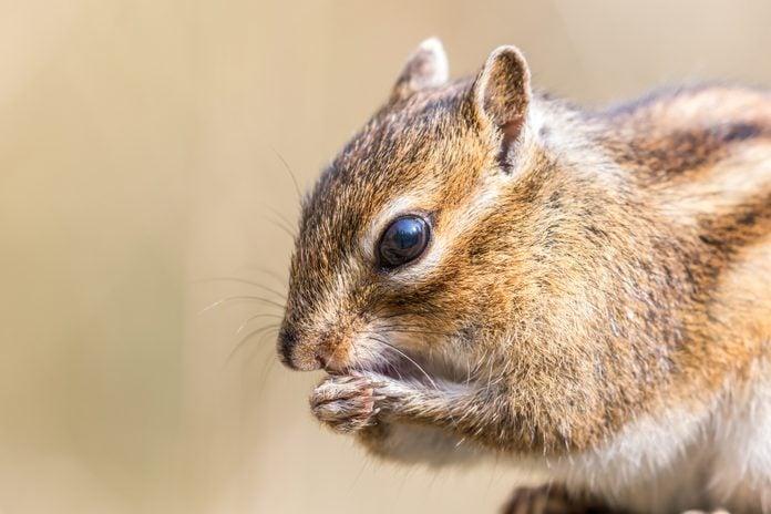Close-up of Siberian chipmunk eating