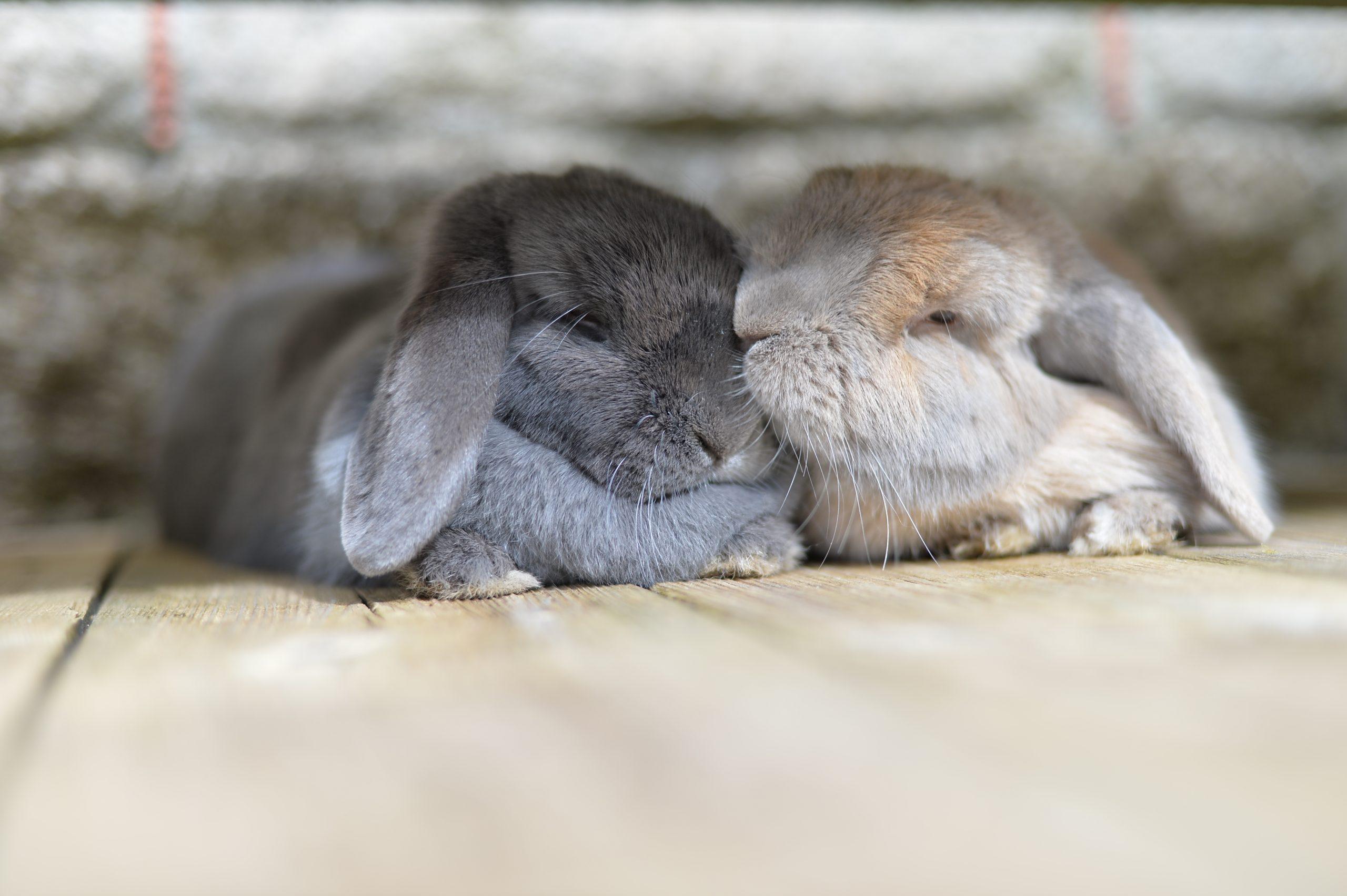 Two dwarf mini lop eared rabbits grooming