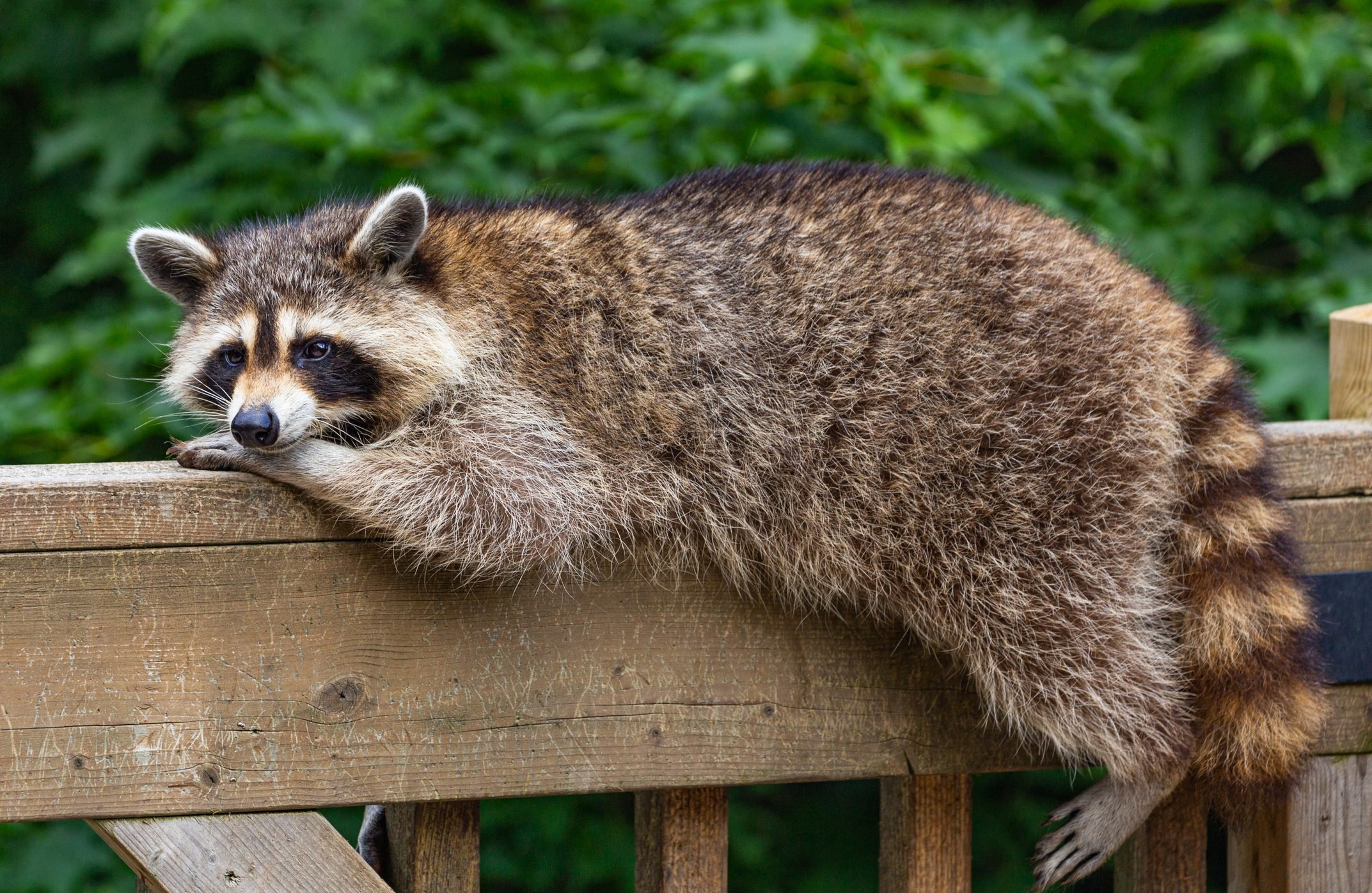 Portrait Of A Raccoon Resting On A Wood Railing.