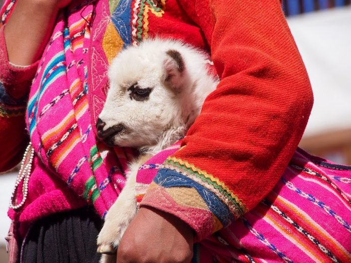 Little lama baby in the arms of a person