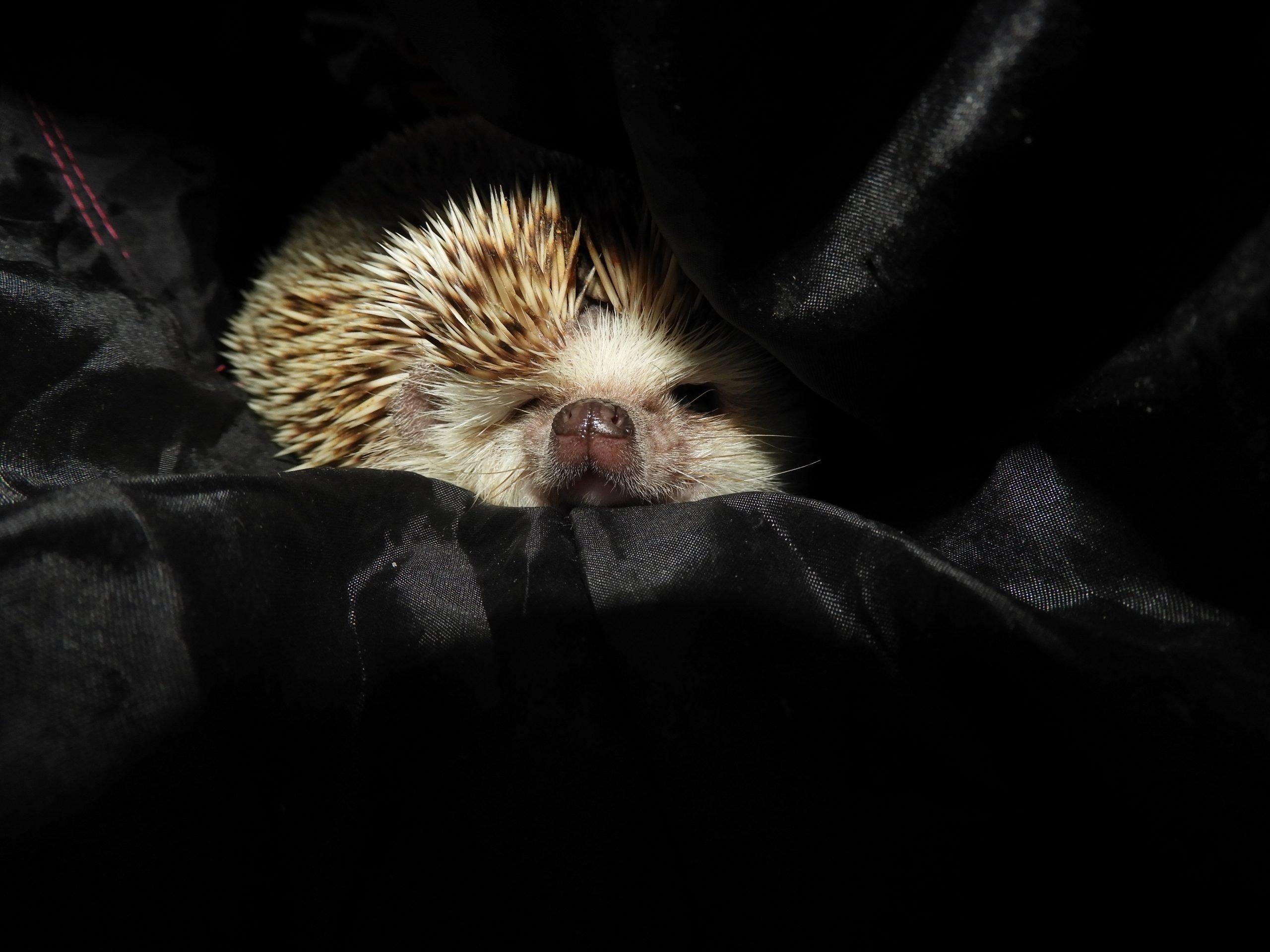 Close-Up Of Cozy Hedgehog In Blanket