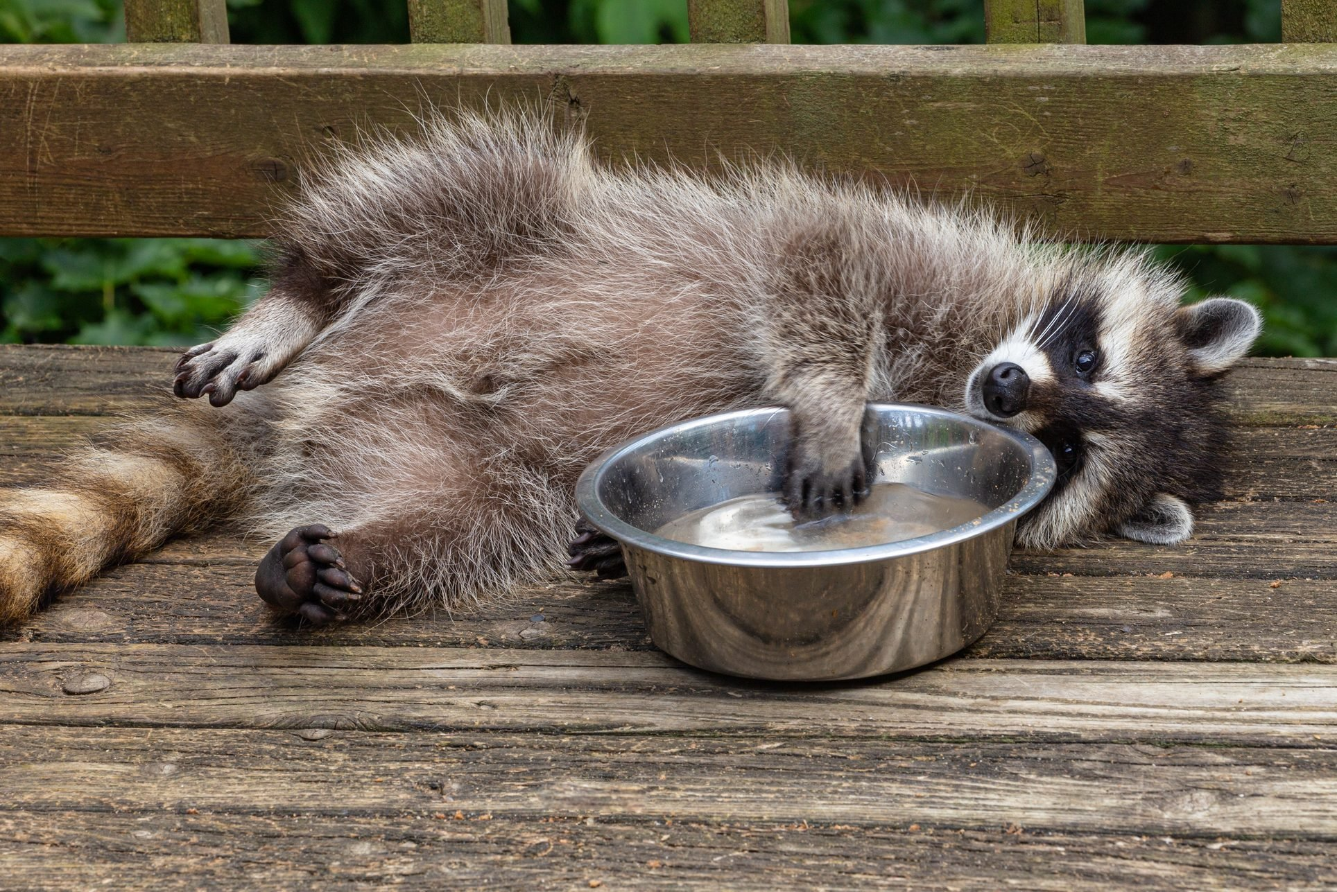 View Of A Baby Raccoon Playing With Water Bowl On A Wooden Deck.