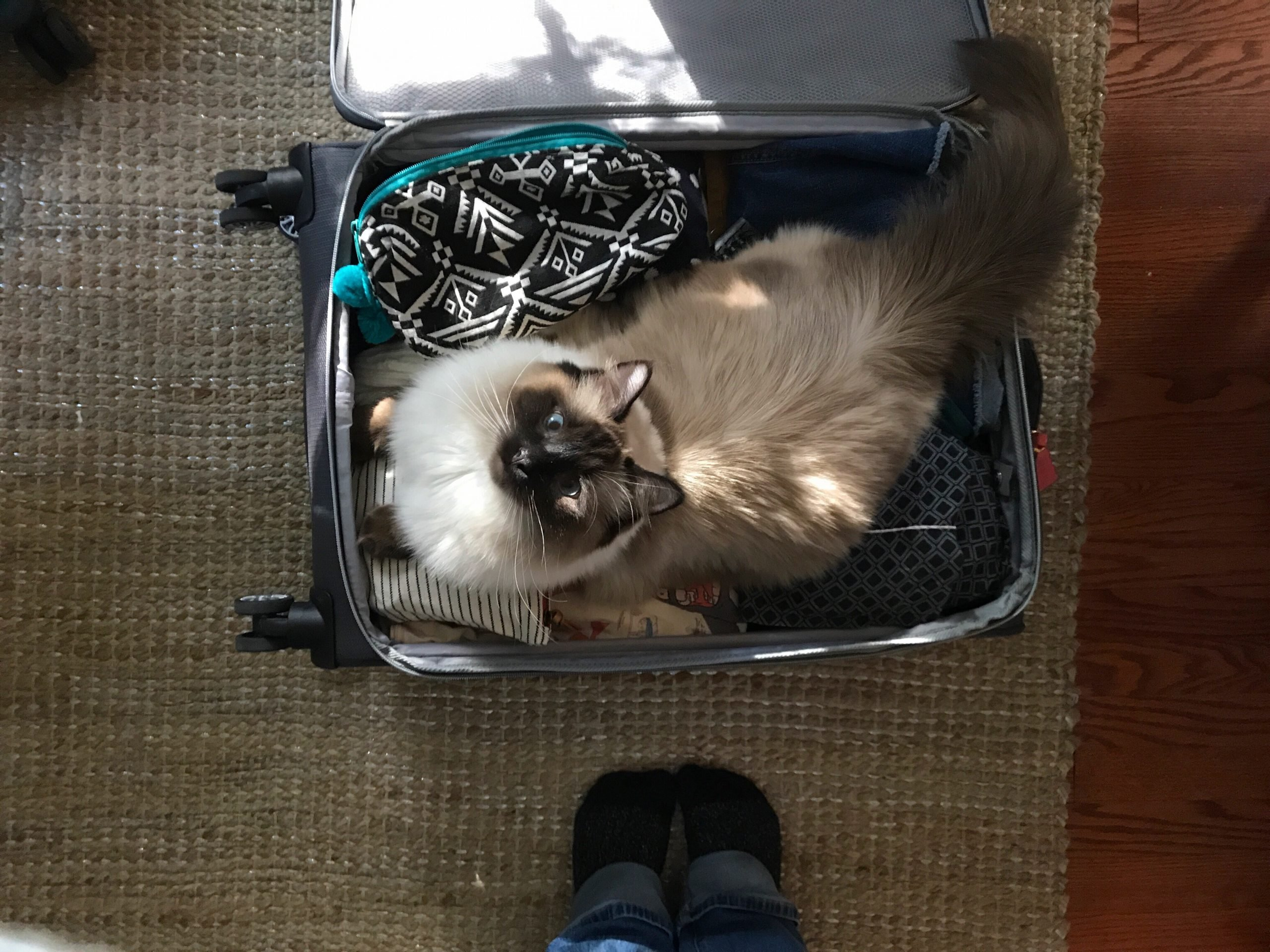 Packing for Travel. Cat in a Suitcase.