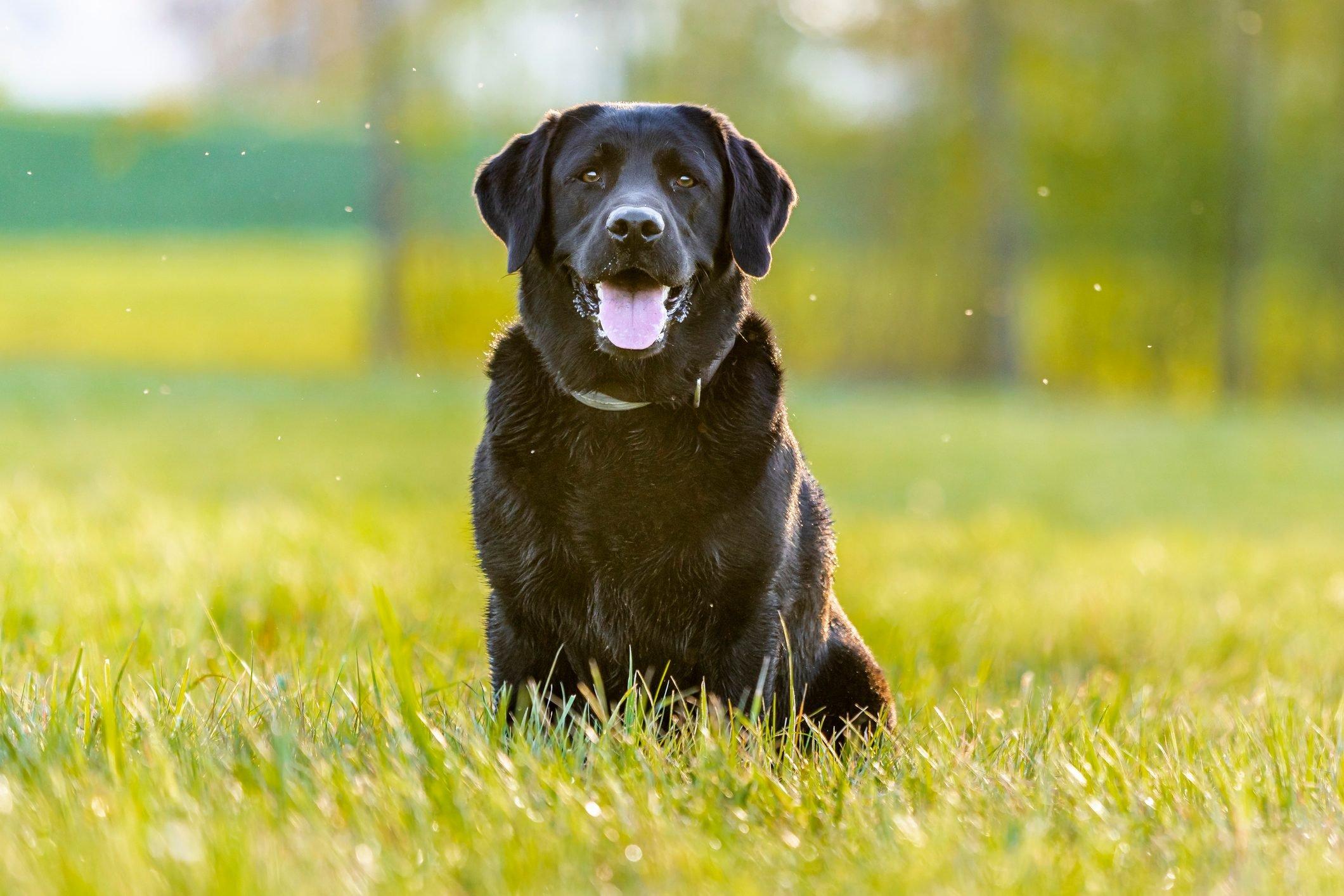 Black Labrador Retriever sitting on meadow
