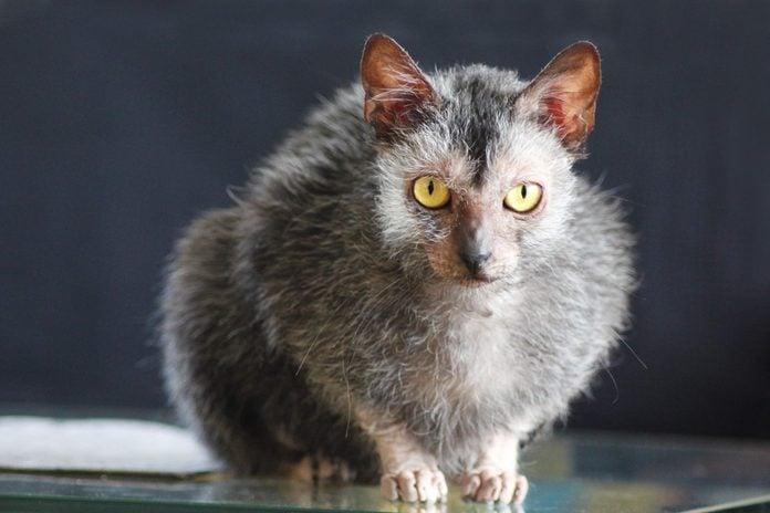 Female Lykoi Cat